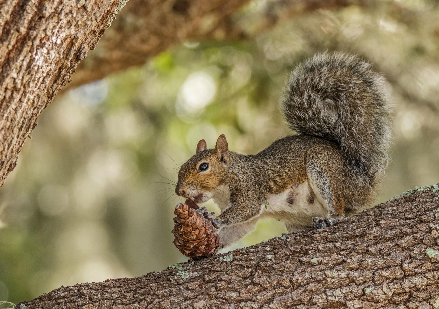 039-Squirrel-eating-pine-nuts-(2)-f.jpg