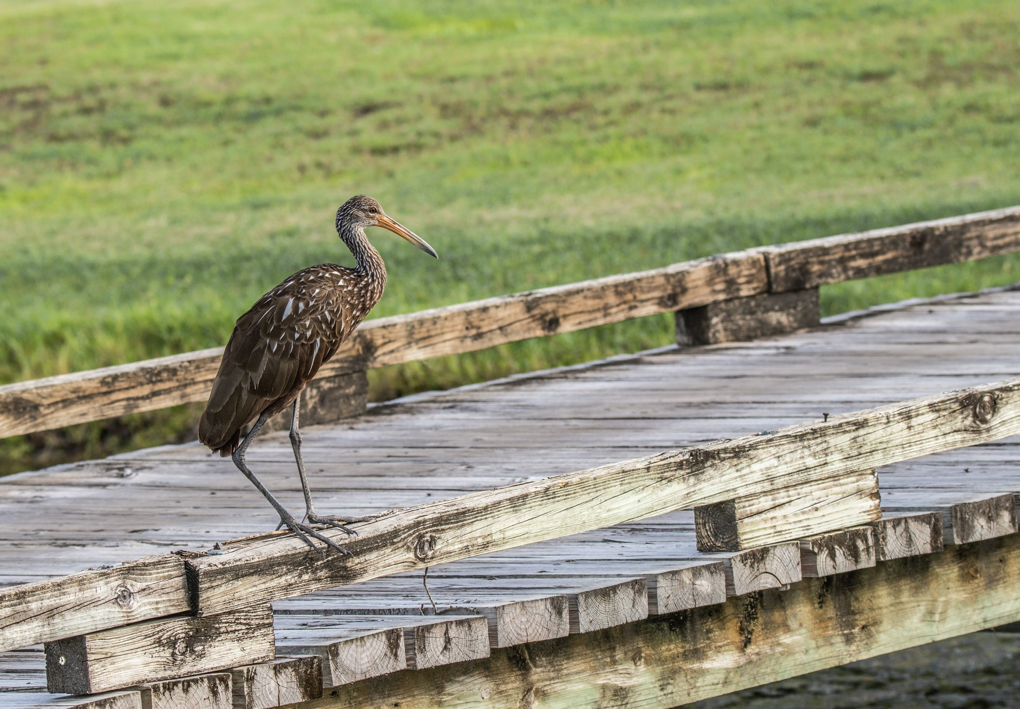 049-Limpkin-on-bridge-cvt-fn.jpg