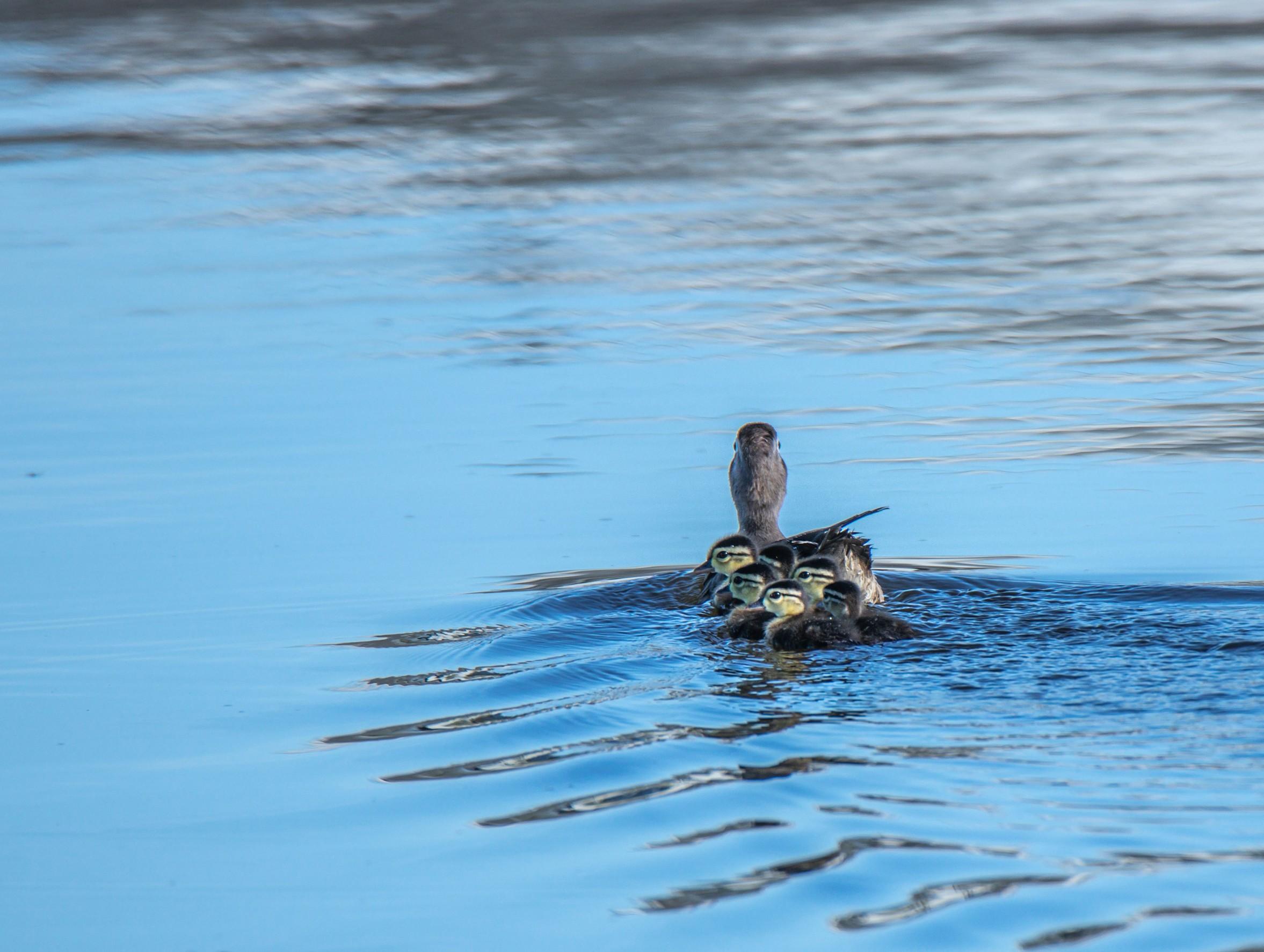 080-Duck-fam-ripples-cvt-fn.jpg