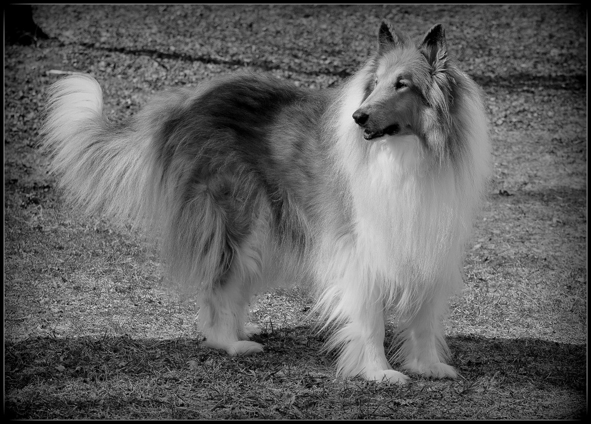 1-collie herding 003.JPG