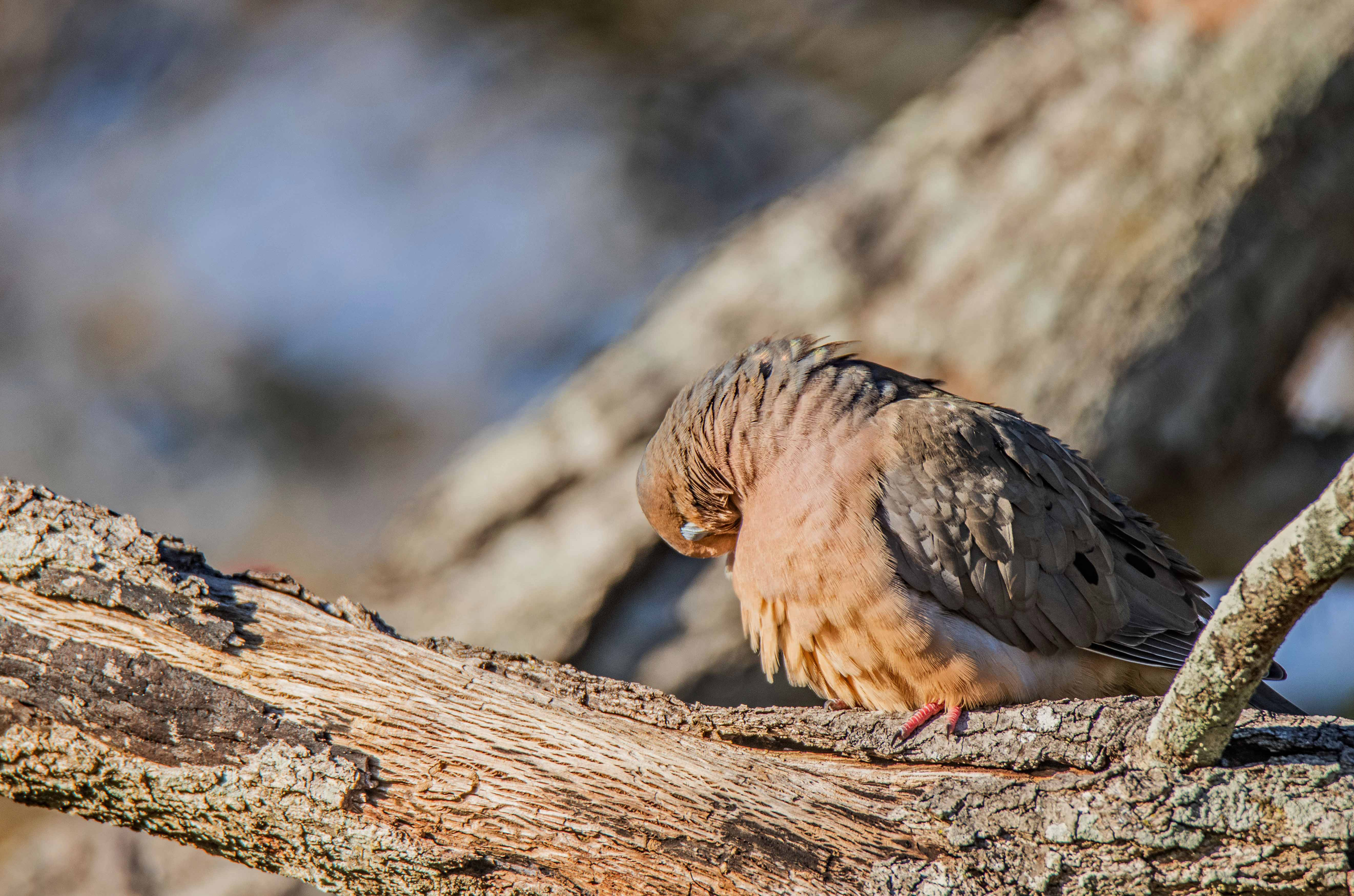 104 Morning Dove (2) f.jpg