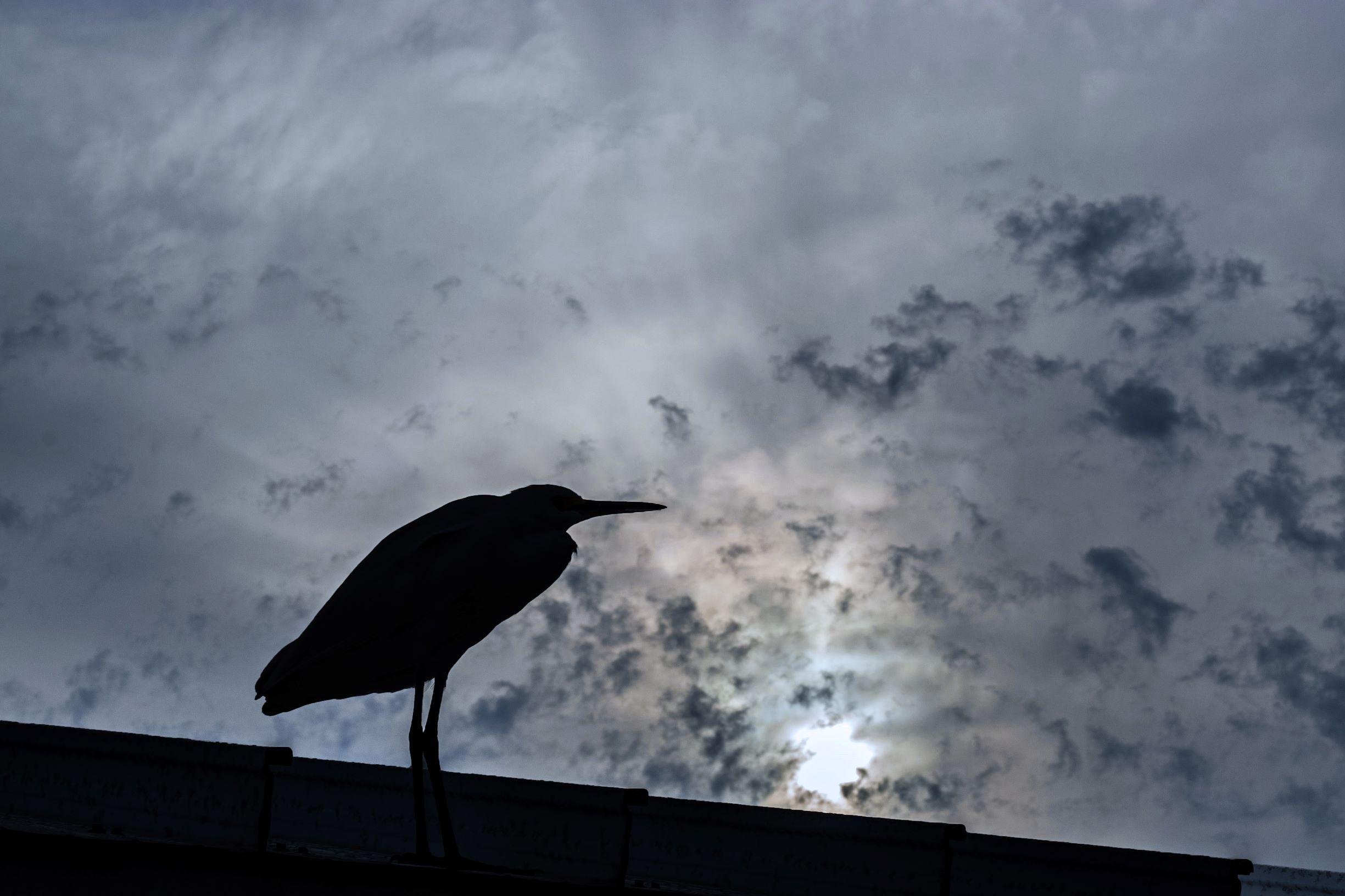 107 Cattle egret on roof (2) cool filter rz.jpg