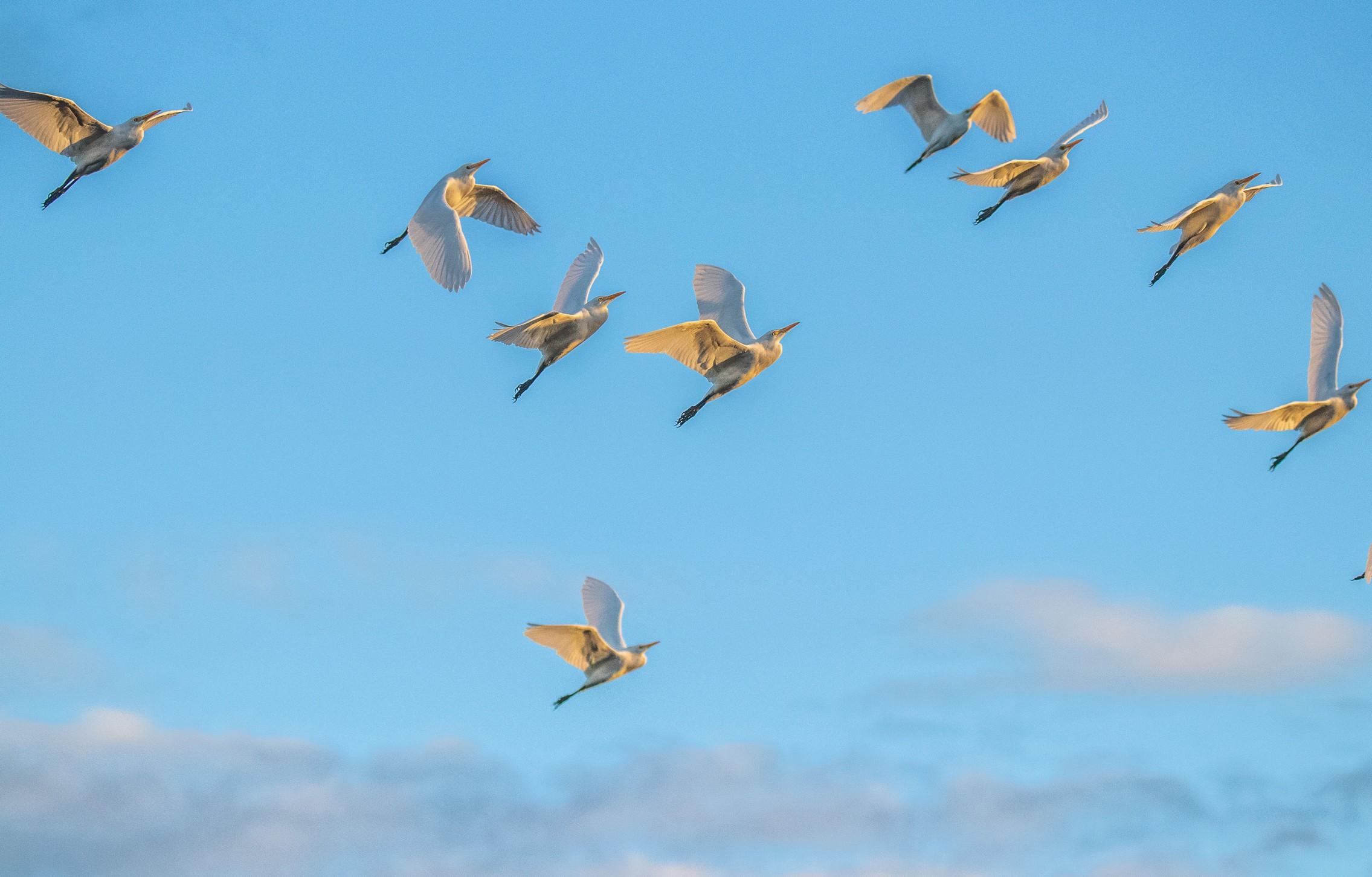 128-cattle-heron-flying-(2)-f.jpg