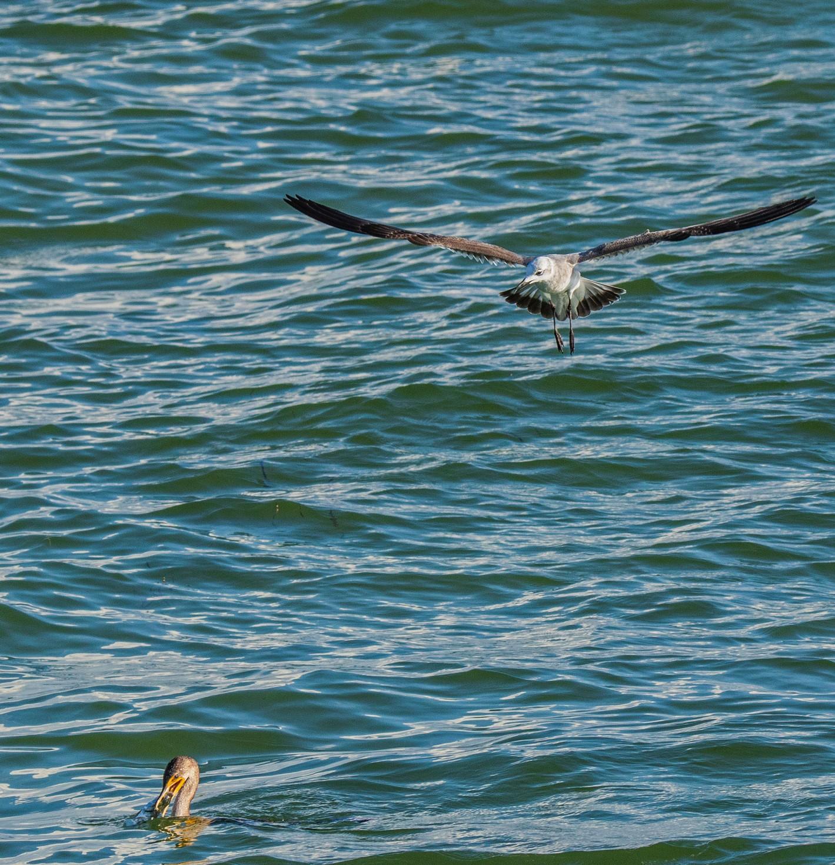 150-Seagul-watching-cormorant-(2)-f.jpg