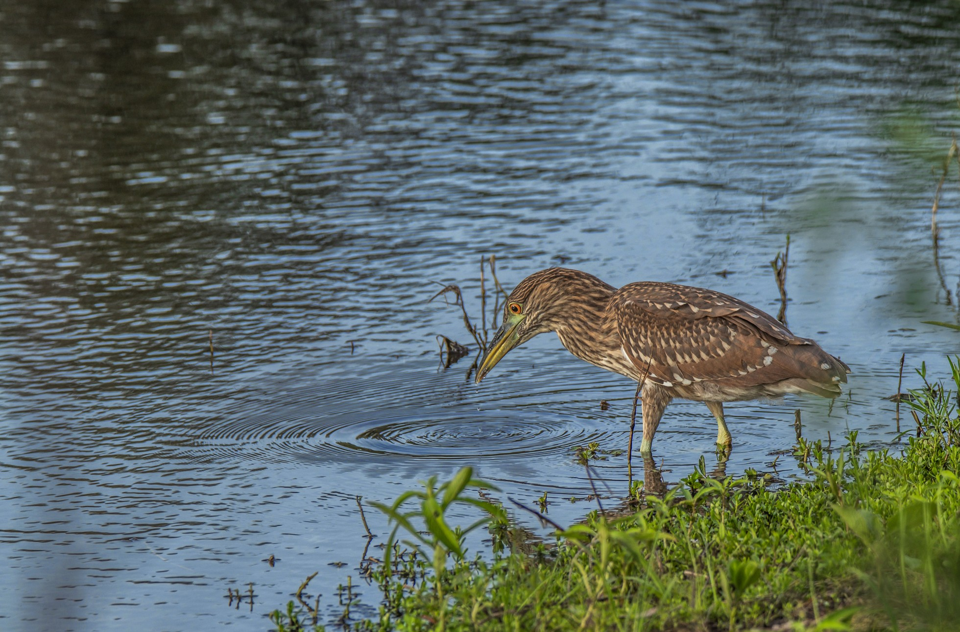 157-green-heron-edge-water-cvt-fn.jpg