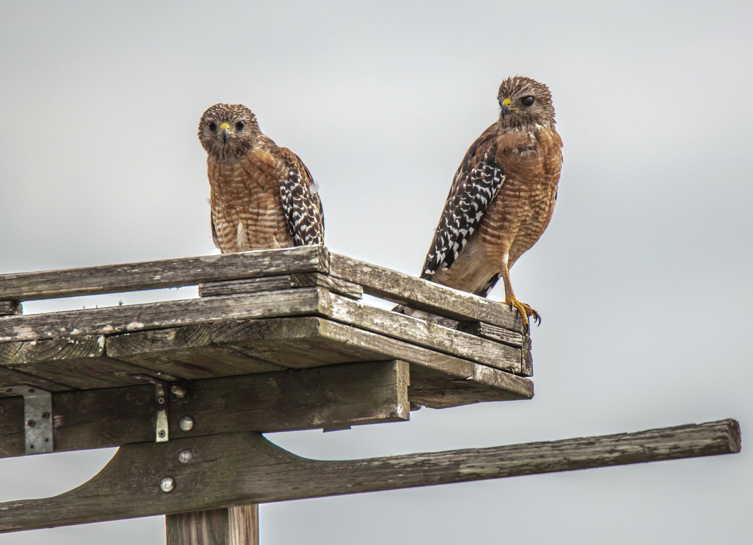 167-two-red-shouldered-hawks-cvt-fn.jpg