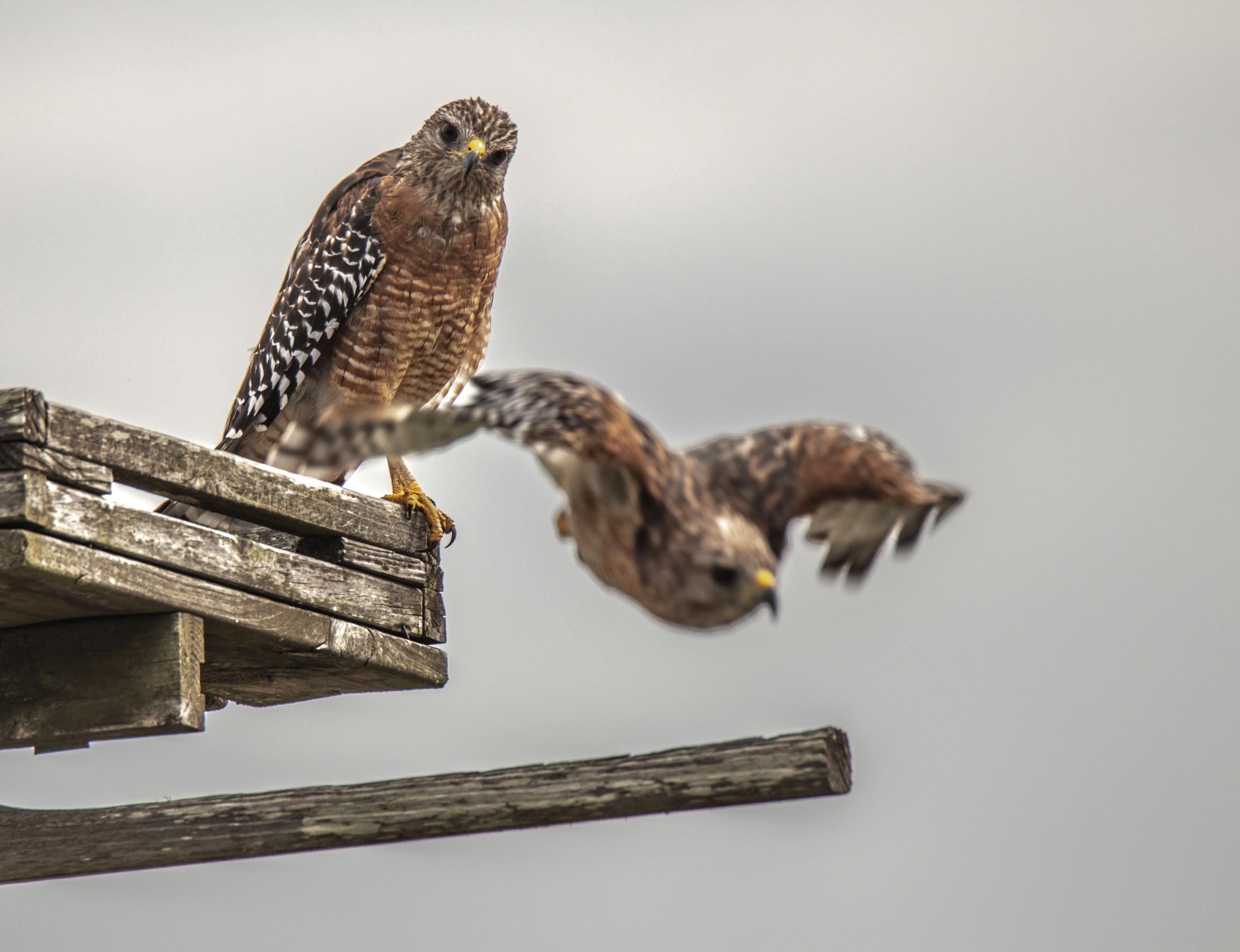 168-two-red-shouldered-hawks-cvt-fn.jpg