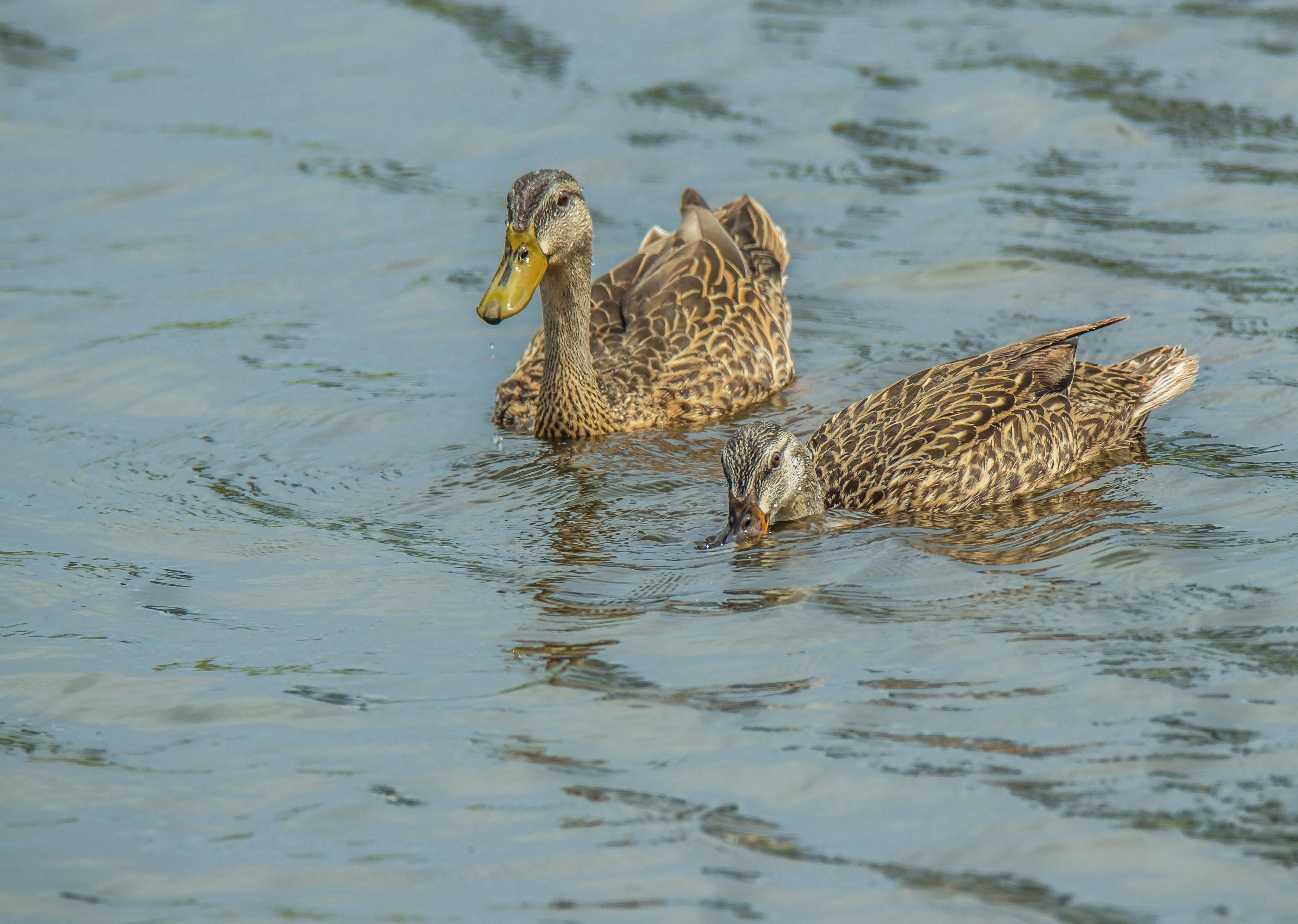 169 two ducks cvt fn.jpg