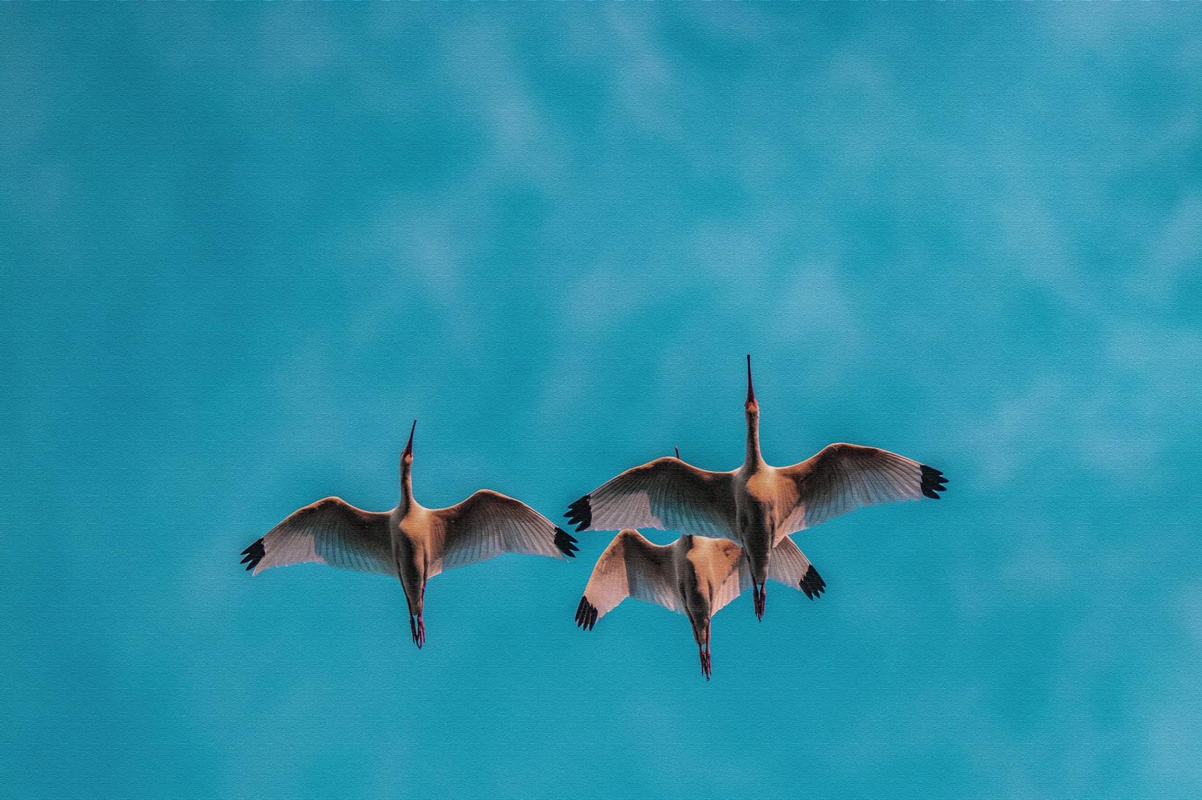 183-ibis-flying-(2)-f-rd.jpg