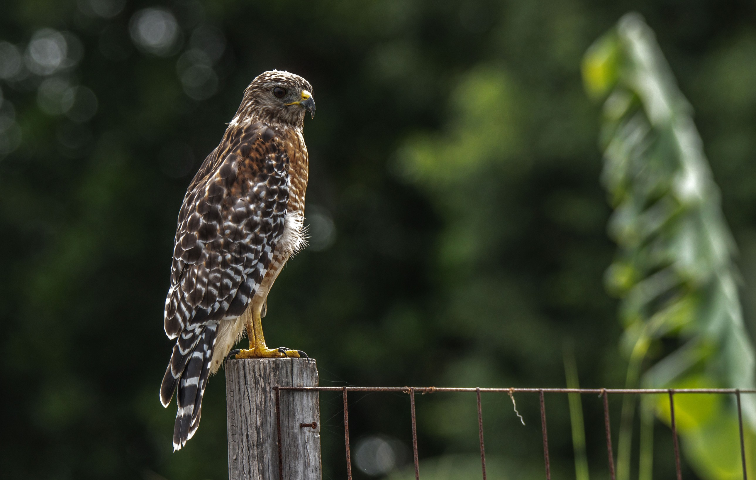 190-red-shouldered-hawk-post-cvt-fn.jpg