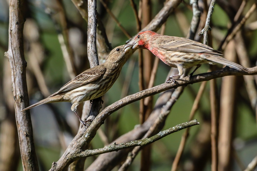 2 Finches 2 (1 of 1).jpg