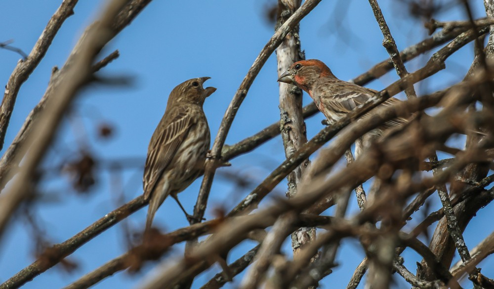 2 Finches 3 (1 of 1).jpg