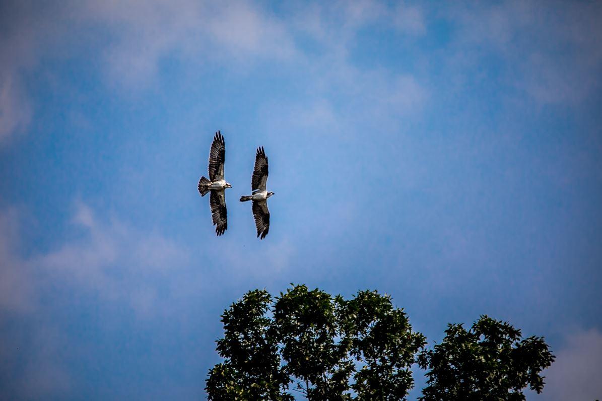 2 Osprey Flying In Unision - Original - VGA.JPG
