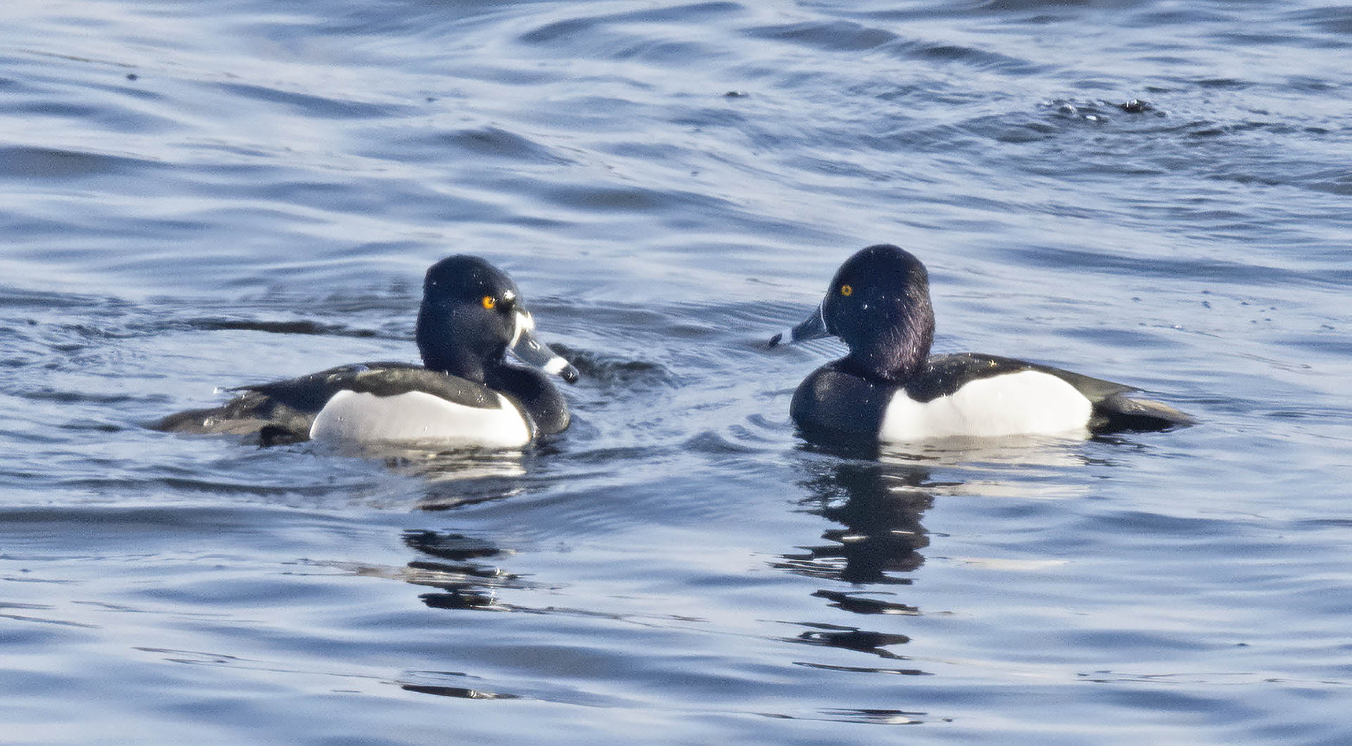 20200325 Ring Necked Duck 01 The Challenge.jpg