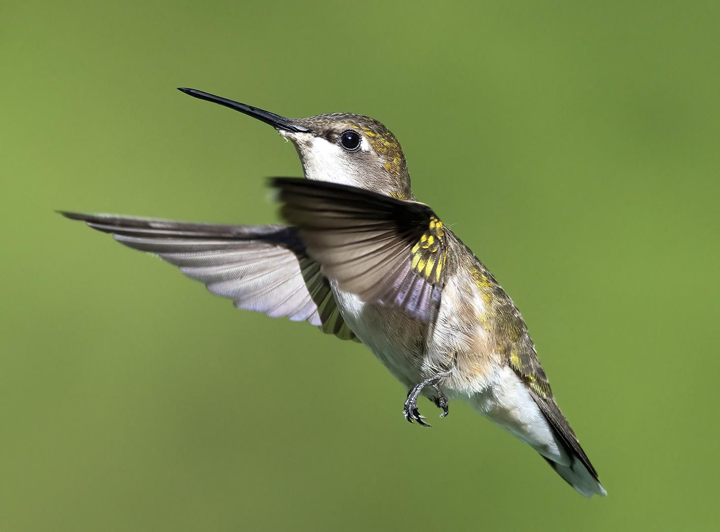 20200601 Hummingbird 1.jpg