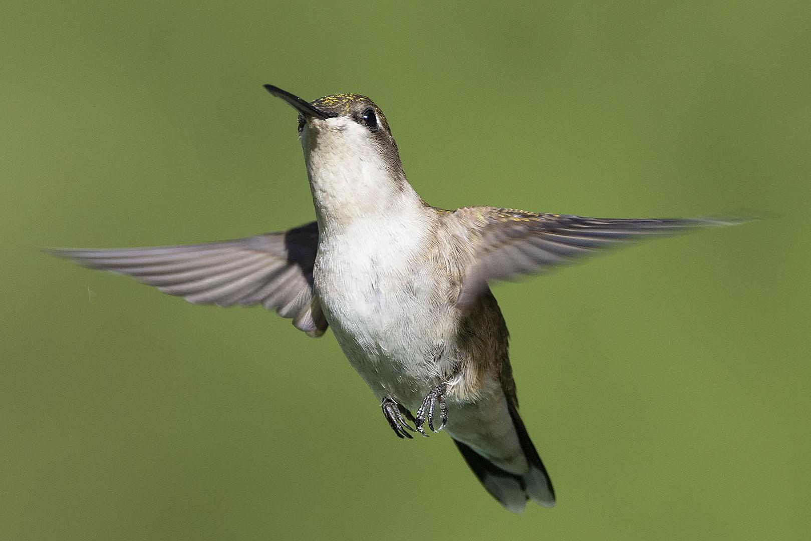 20200601 Hummingbird 2.jpg