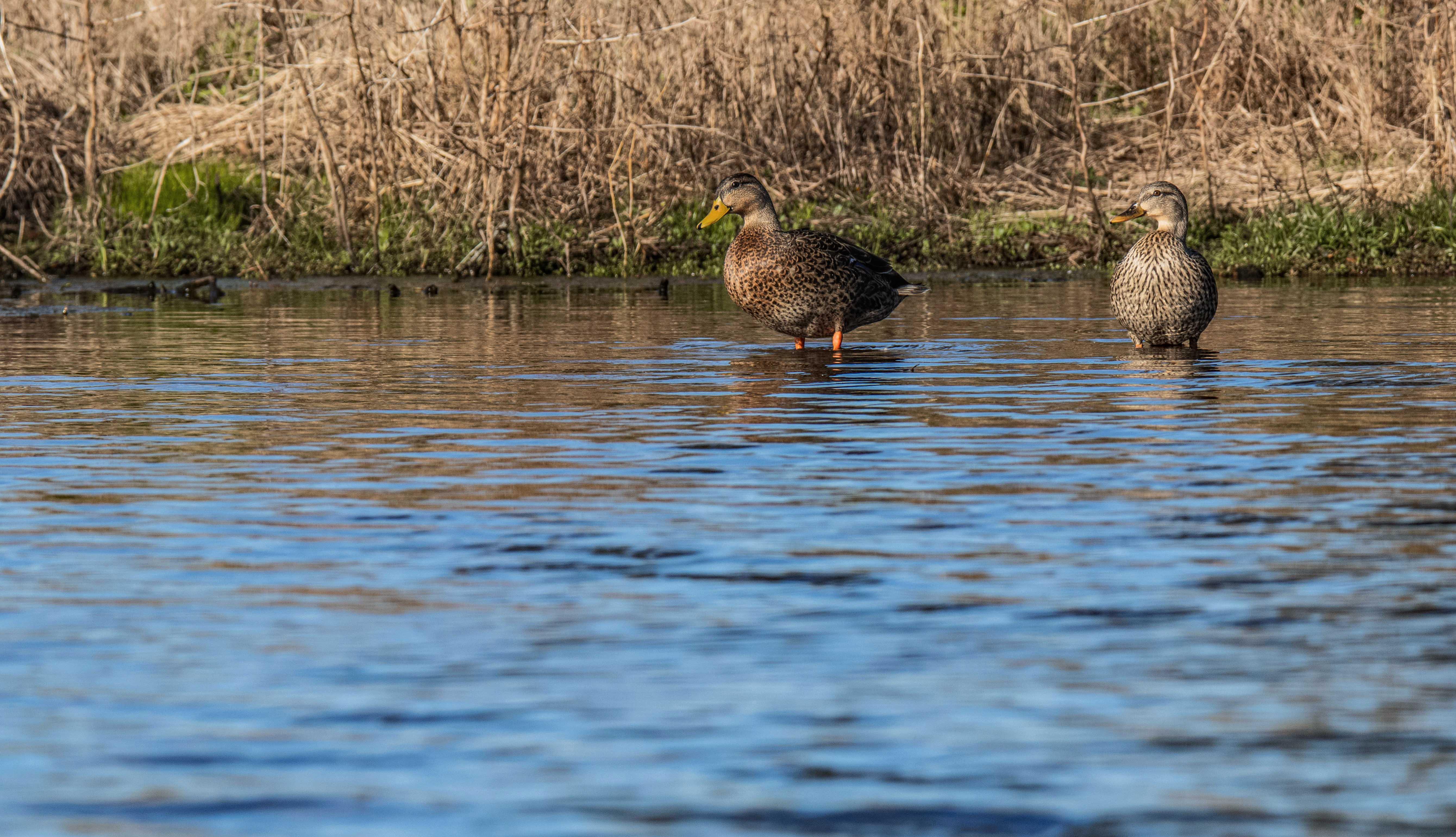 218 mallard ducks (2) f.jpg