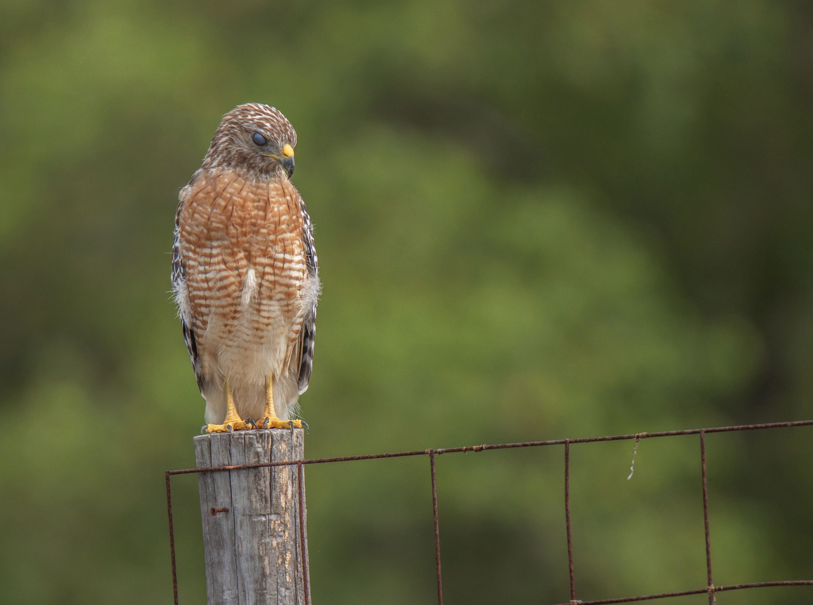 220-red-shouldered-hawk-post-cvt-fn.jpg