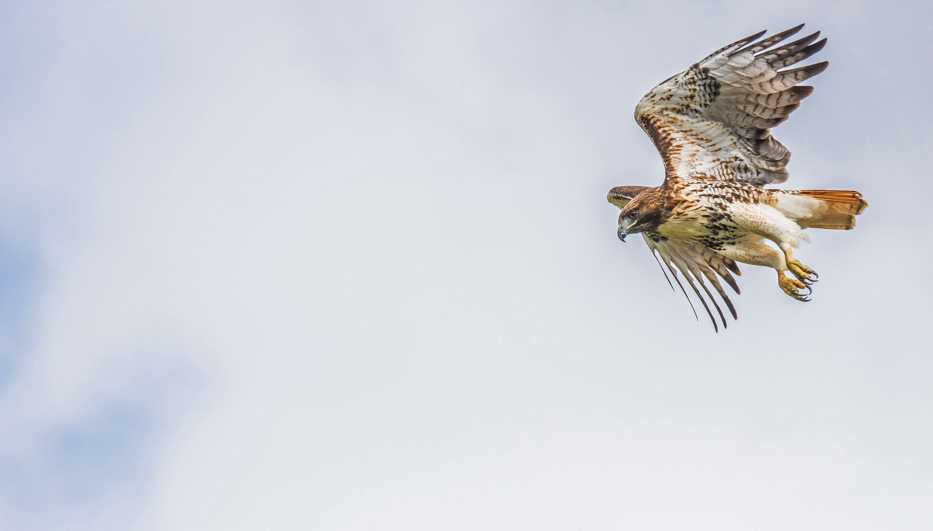 223-Red-tailed-hawk-Launching-(2)-f.jpg