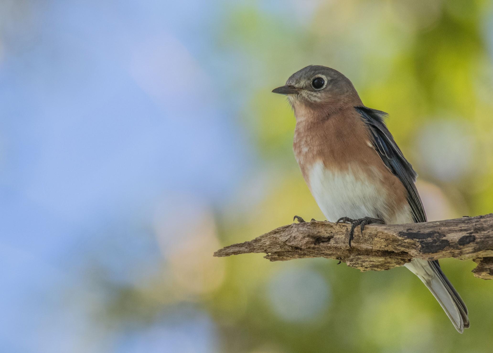 242-eastern-bluebird-(3)-f.jpg