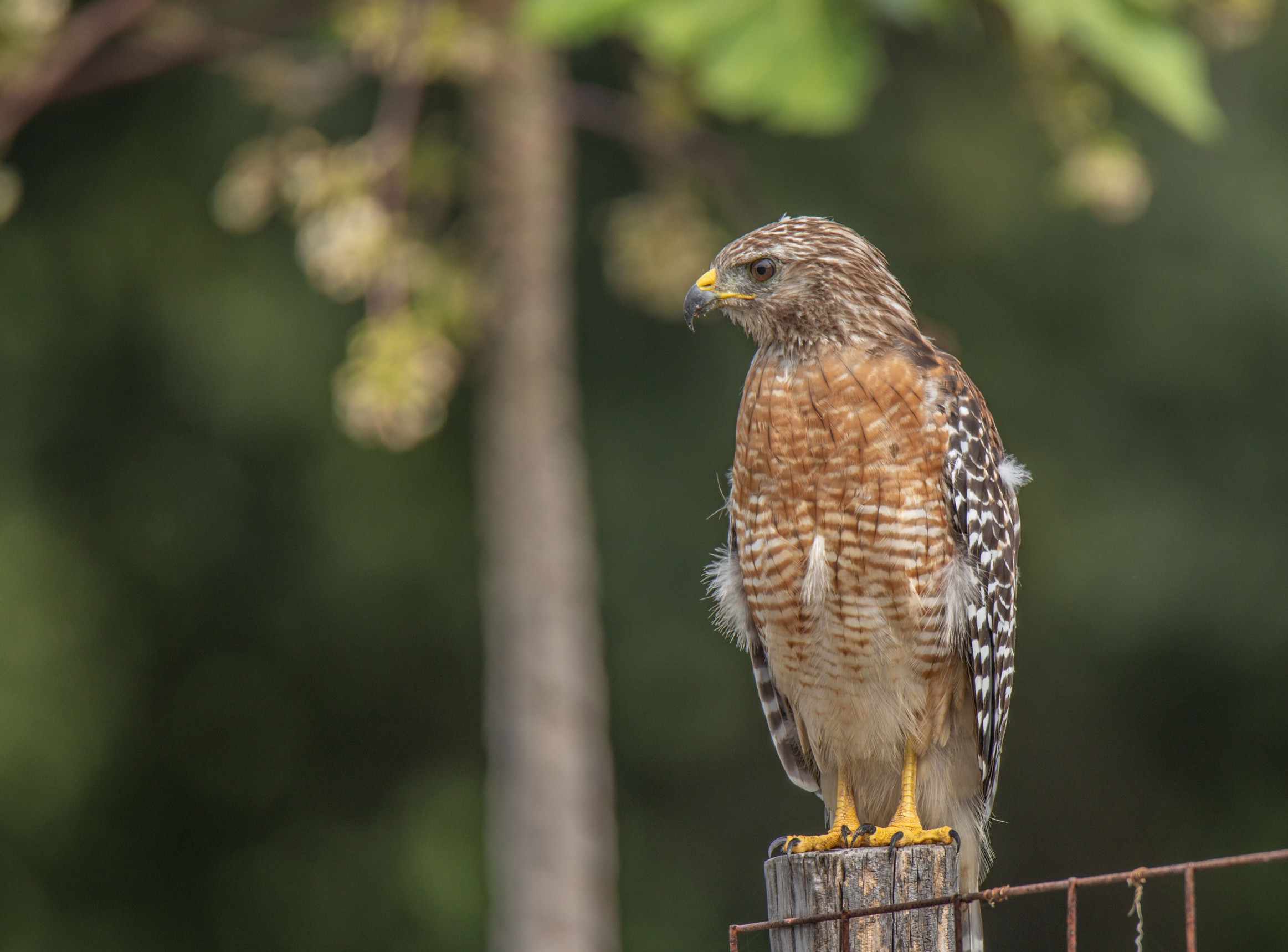 254-red-shouldered-hawk-post-cvt-fn.jpg