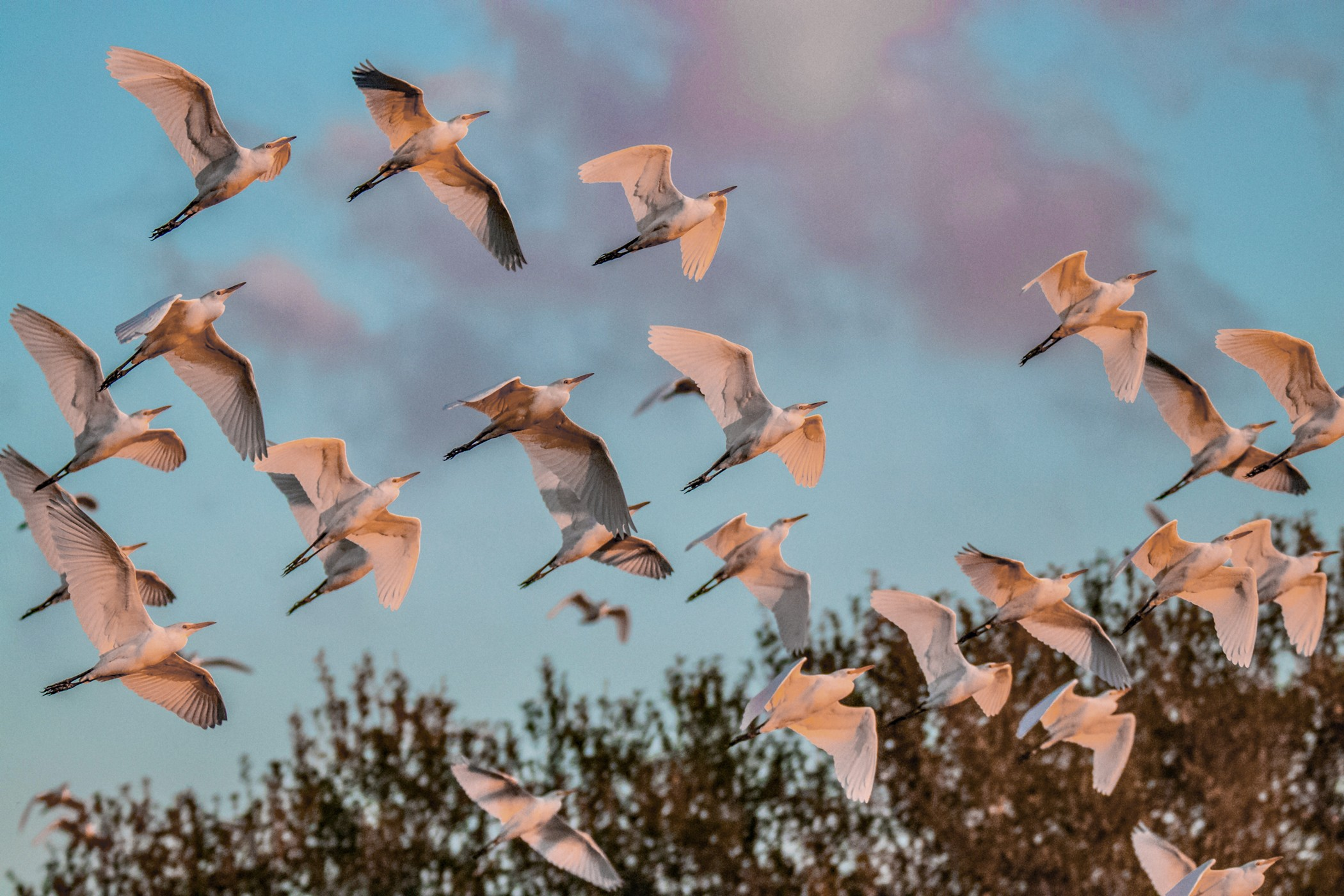 265-cattle egret-flying-(2)-f-rd.jpg