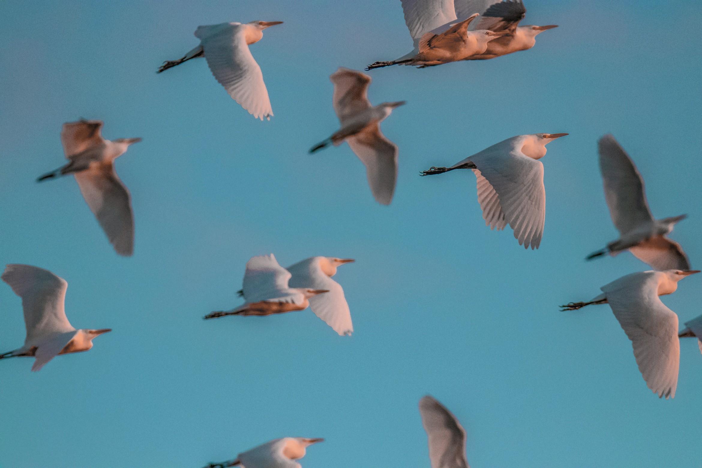 267-cattle-egret-flying-(2)-f-rd.jpg