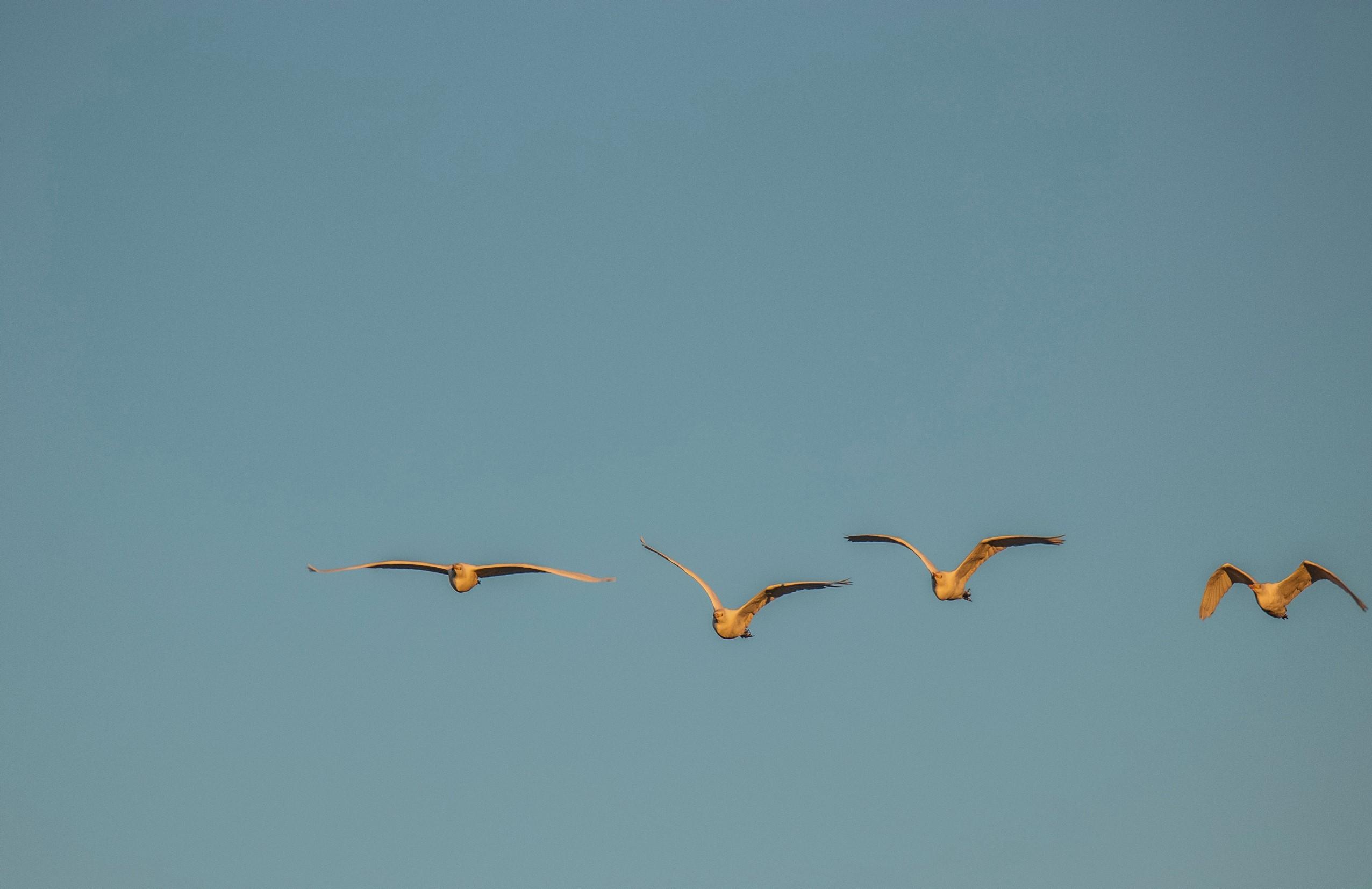 331-Cattle-Egret-(3)-f.jpg