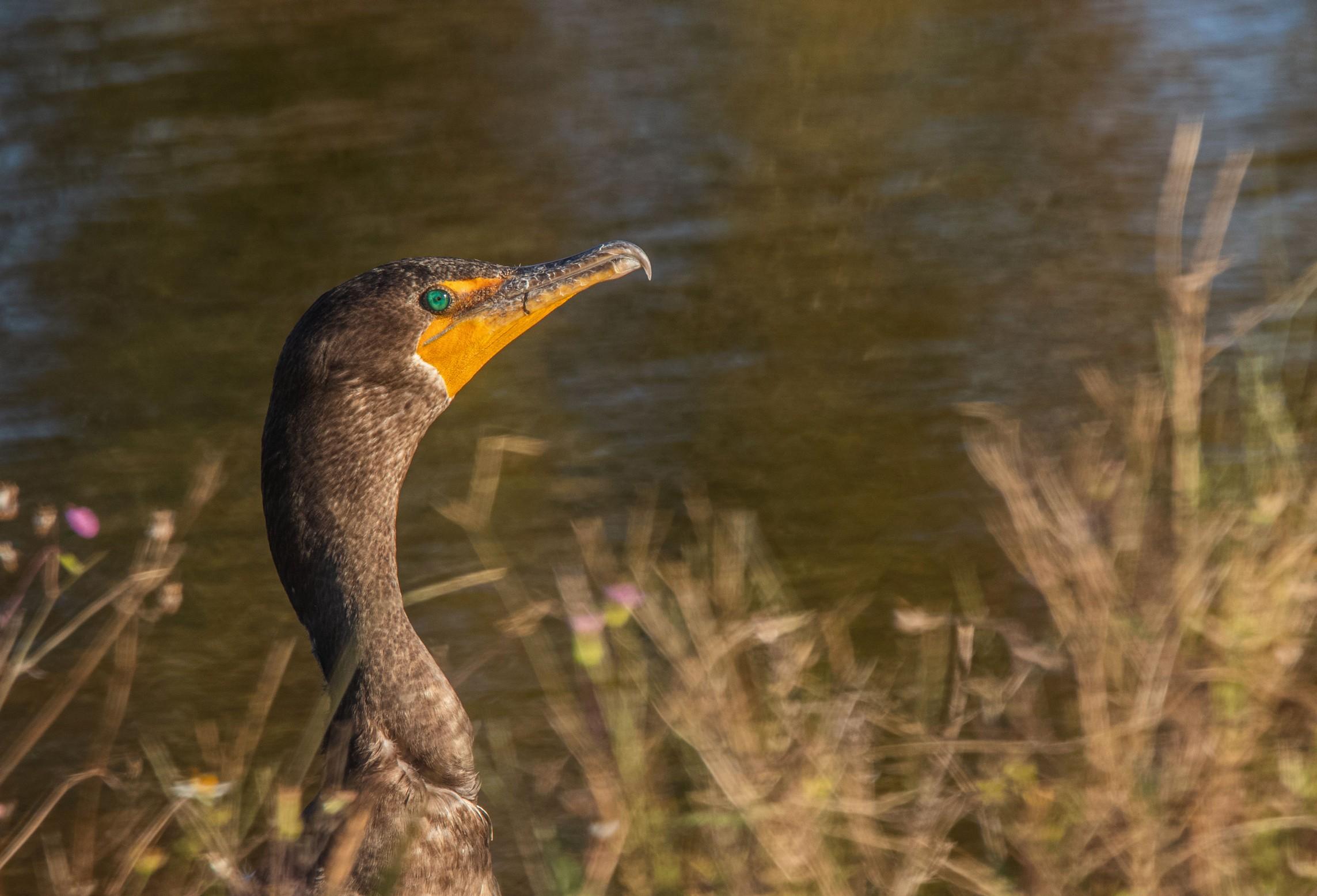 366-cormorant-(2)-f.jpg