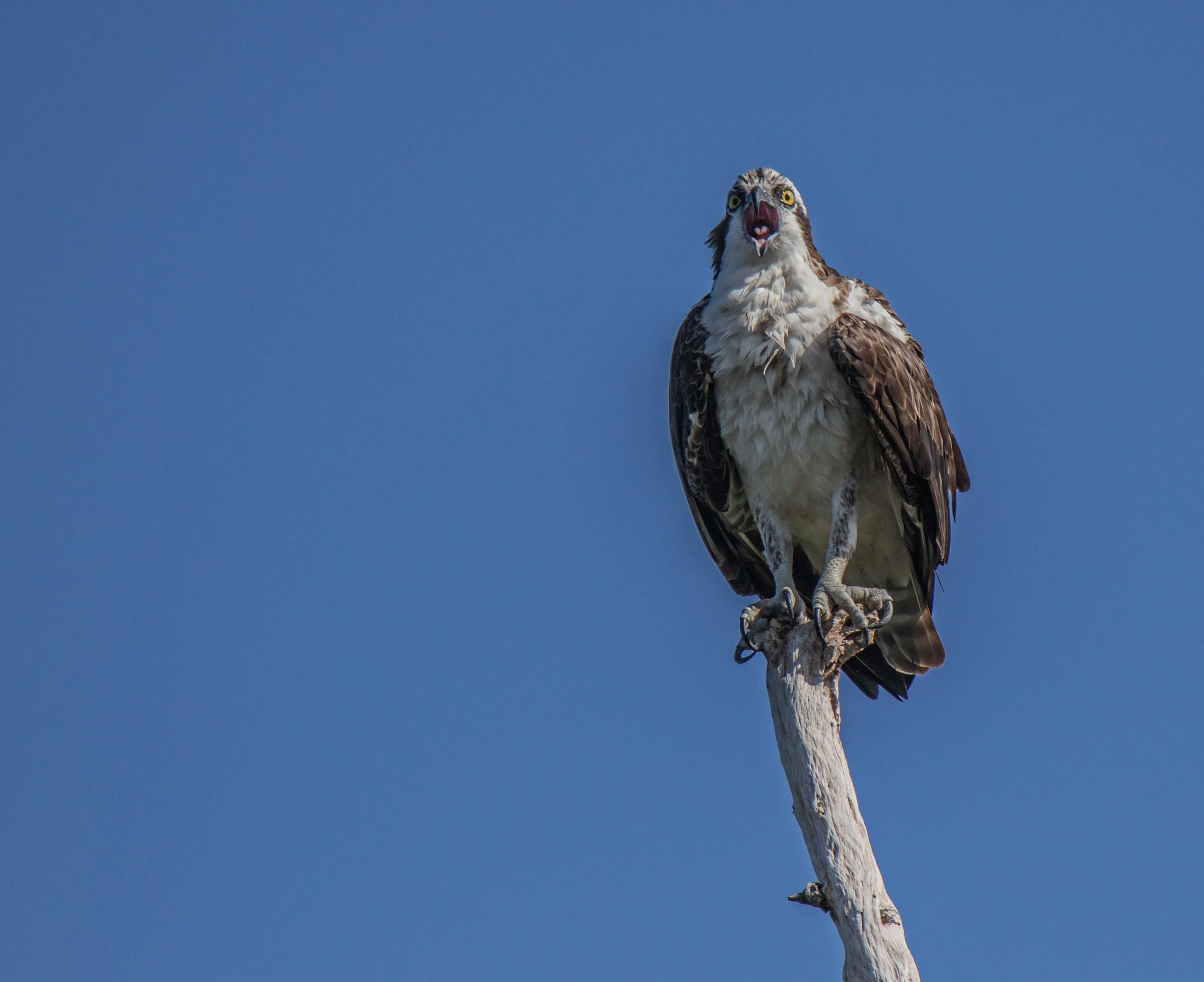 372-Osprey-perched-cvt-fn.jpg