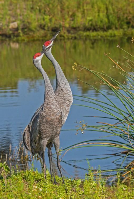 396-Sandhill-Cranes-(2)-f-3-30%.jpg