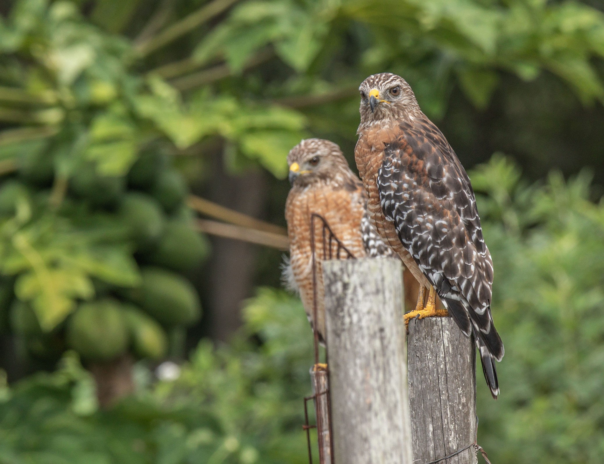404-red-shouldered-hawk-post-cvt-fn.jpg