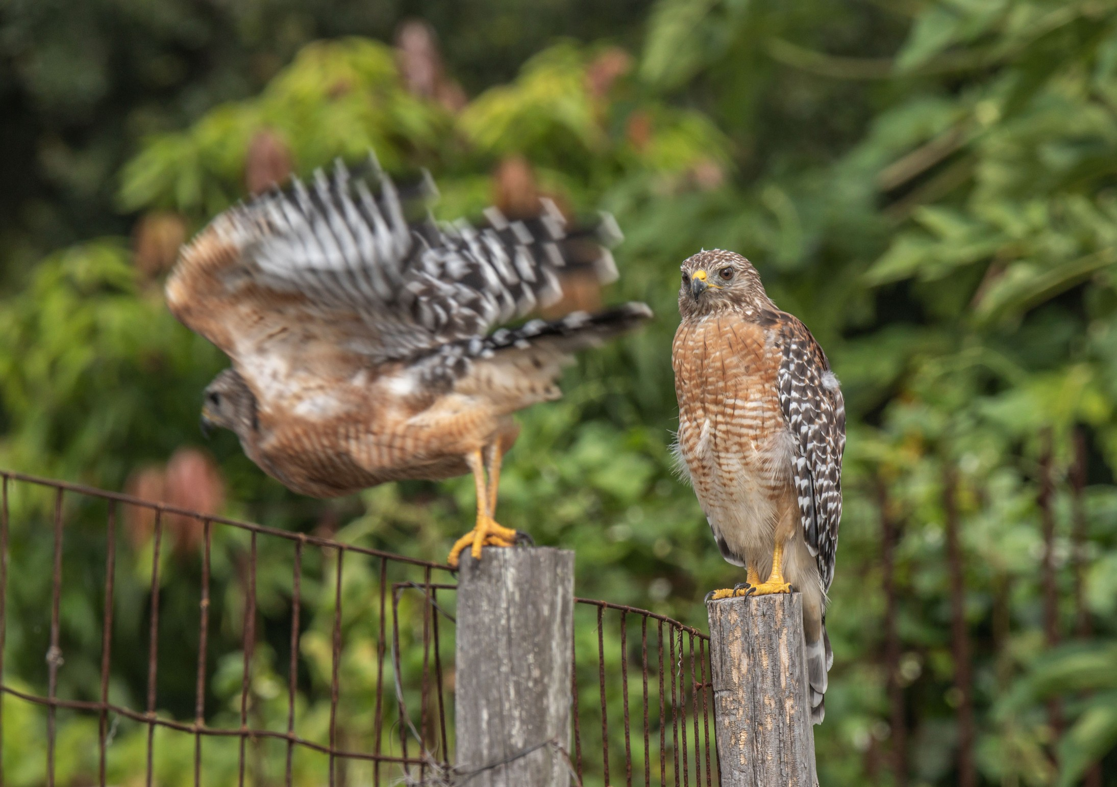 423-red-shouldered-hawk-post-cvt-fn.jpg