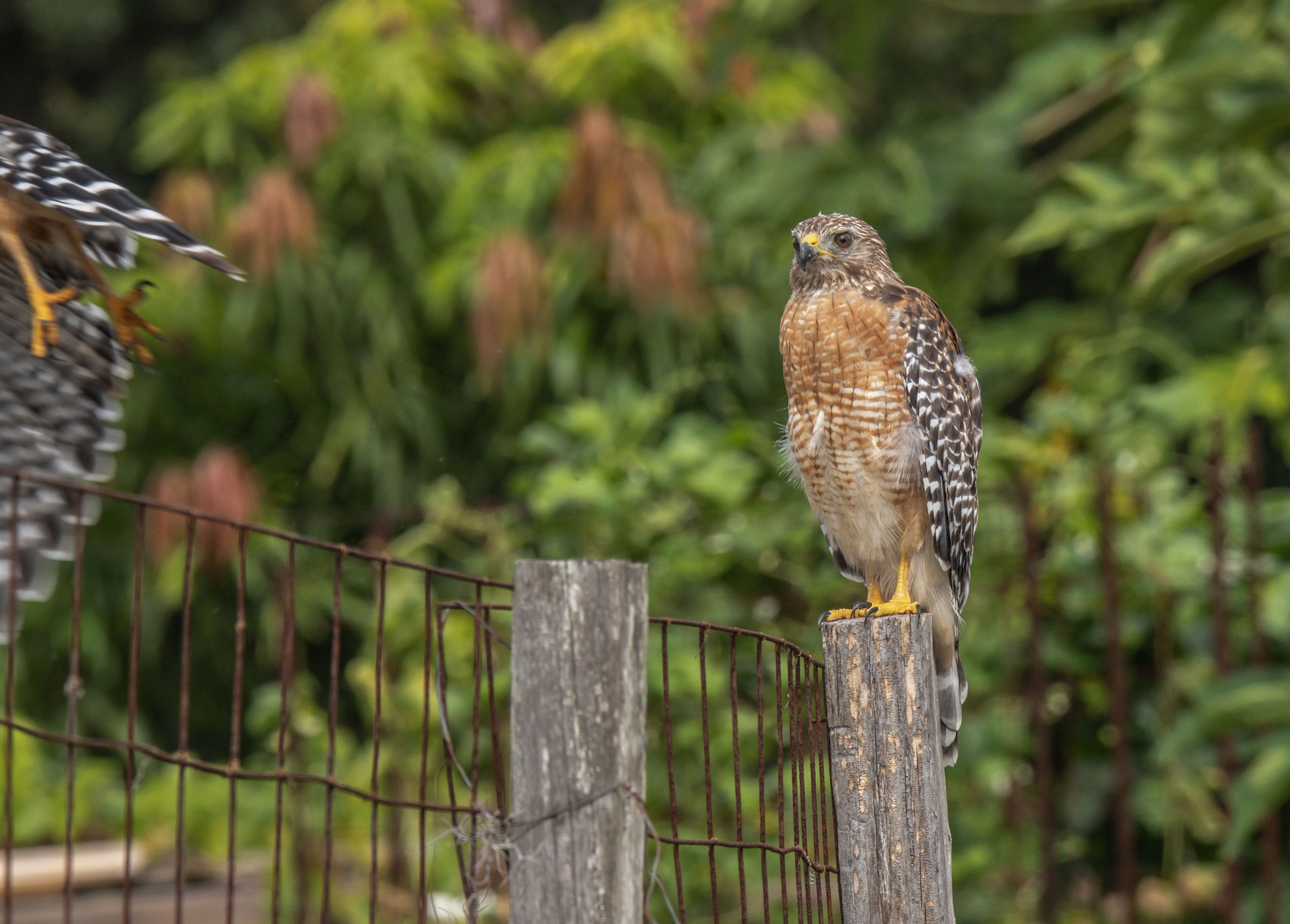 424-red-shouldered-hawk-post-cvt-fn.jpg