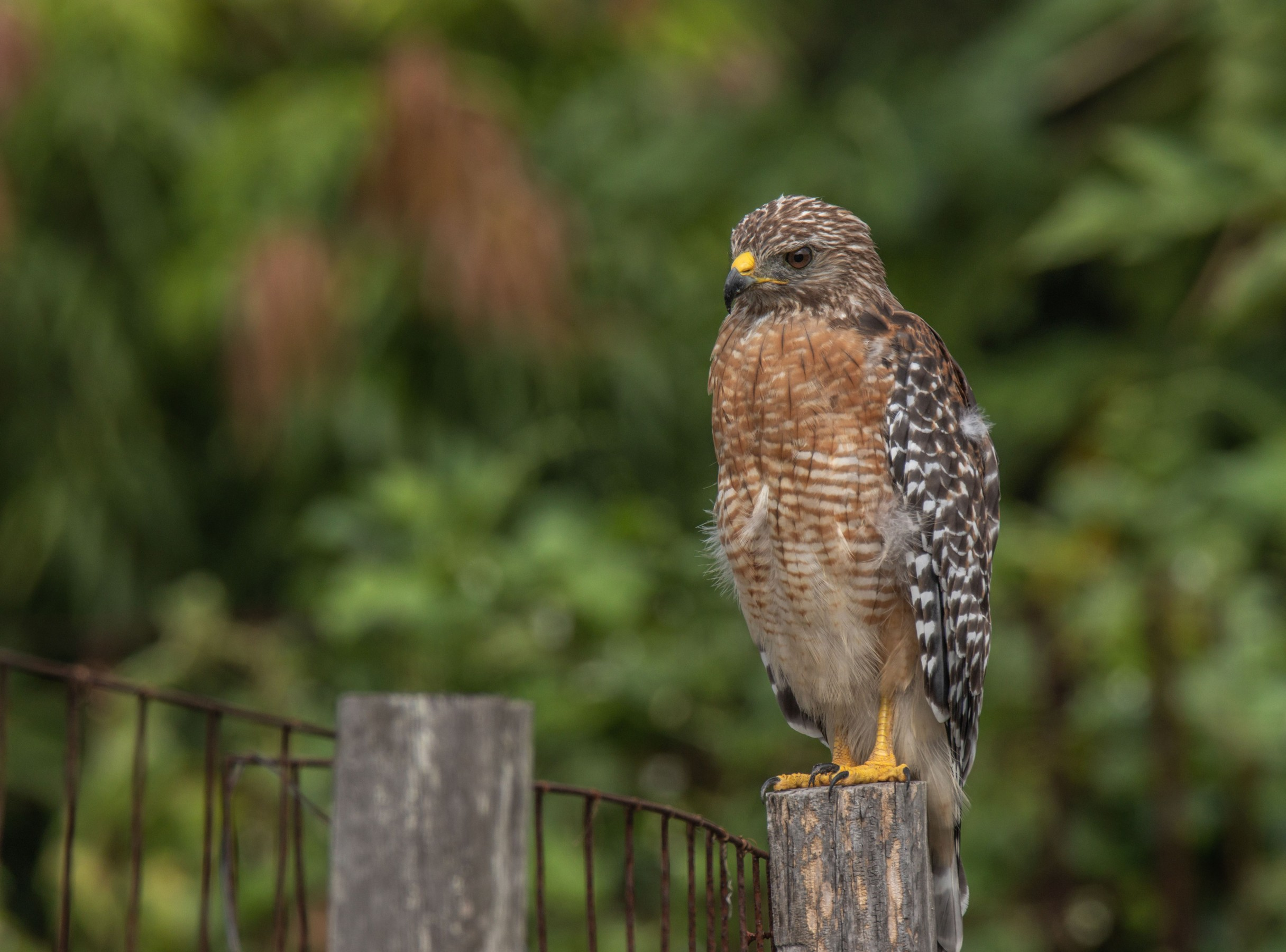 428-red-shouldered-hawk-post-cvt-fn.jpg