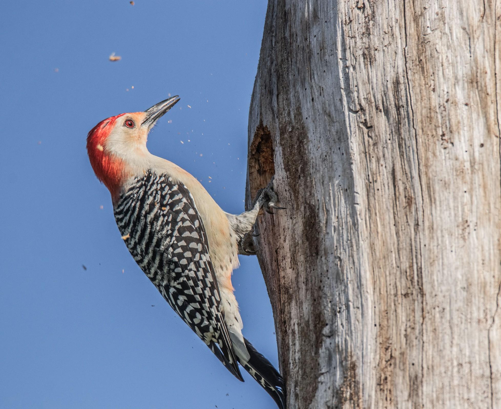 597-Red-bellied-woodpecker-(2)-f.jpg