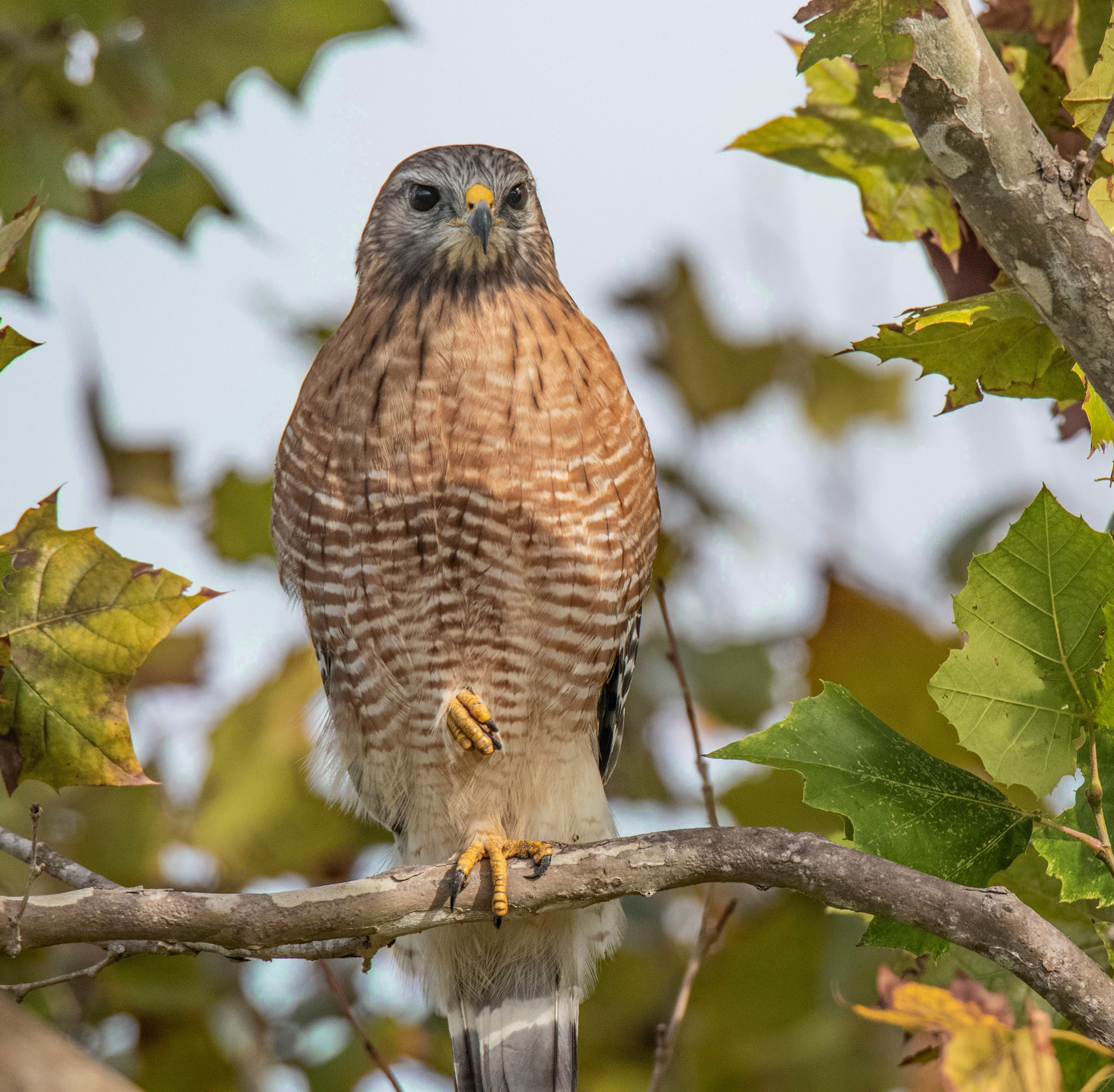 607-red-shouldered-hawk-branch-(2)-rd.jpg