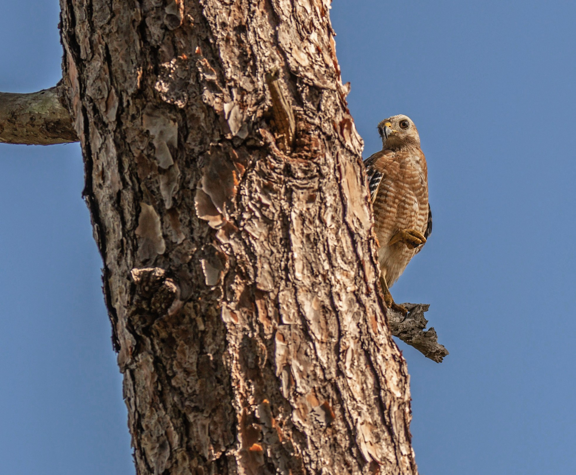 717-Red-Shouldered-Hawk-cvt-fn.jpg