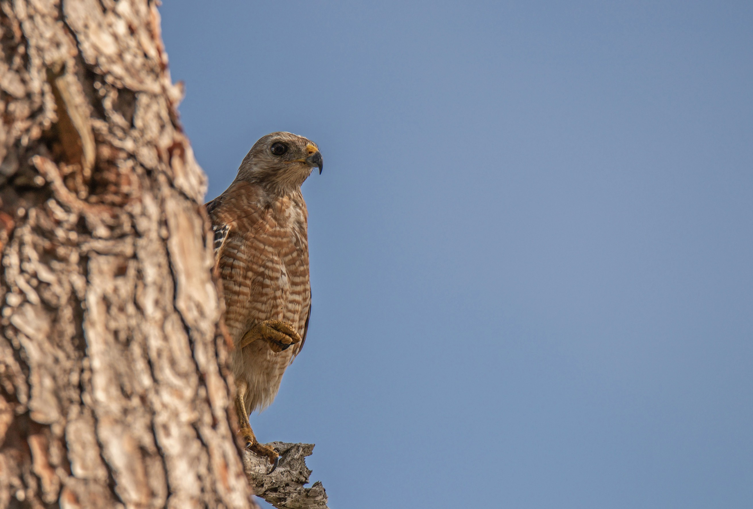 724-Red-Shouldered-Hawk-cvt-fn.jpg