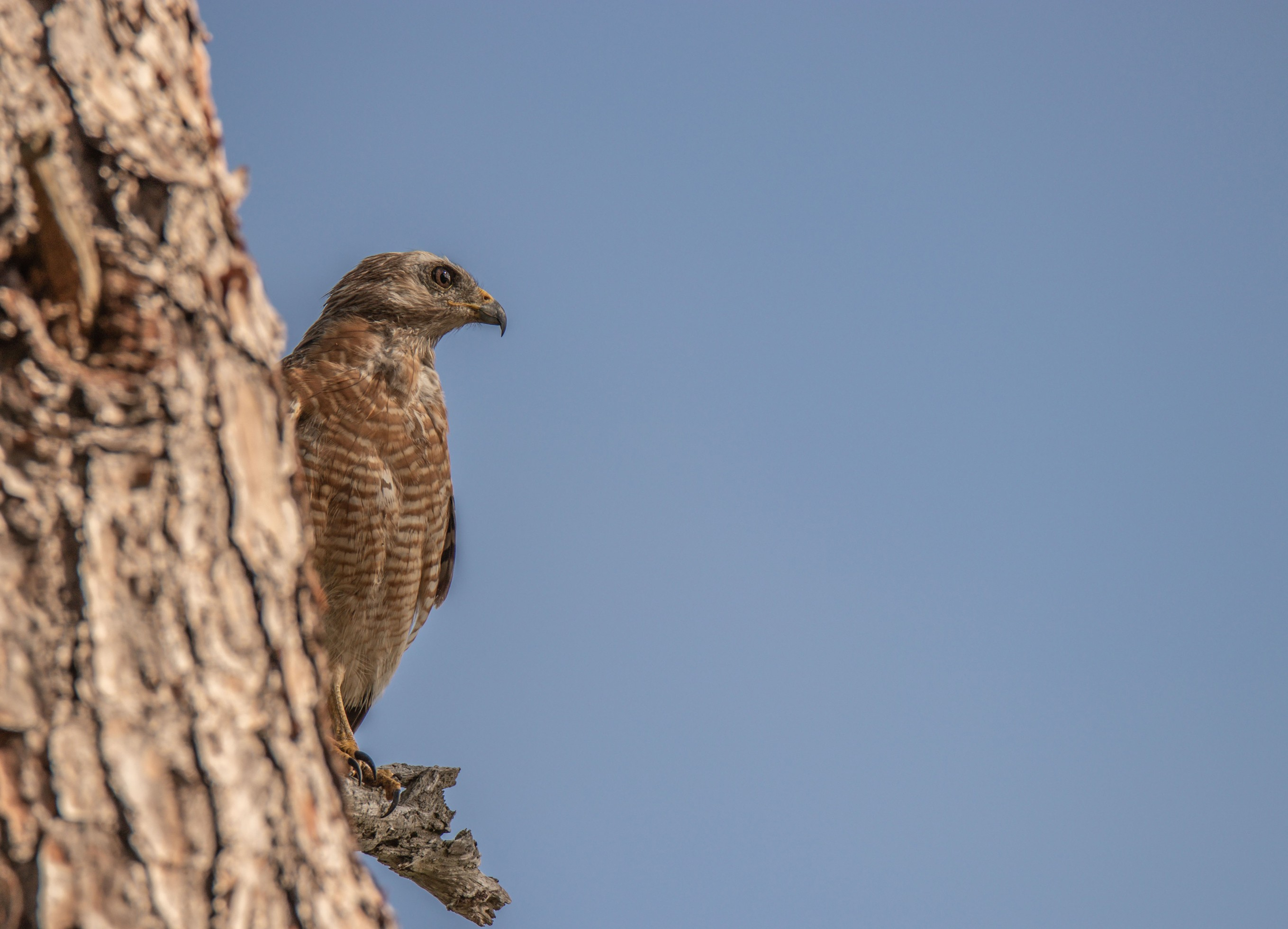 728-Red-Shouldered-Hawk-cvt2-fn.jpg