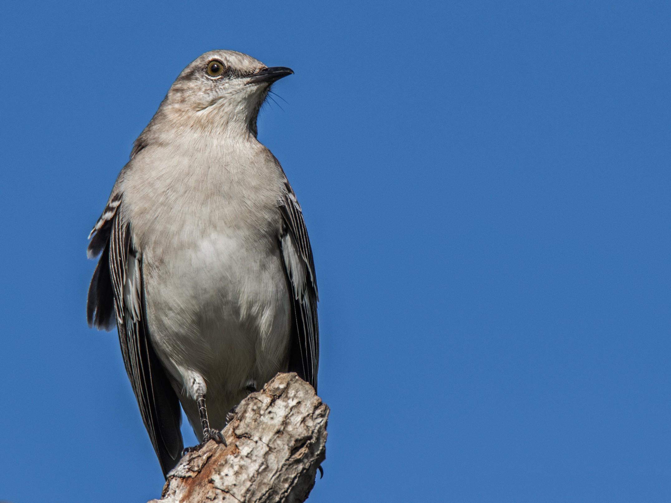 909-Mocking-bird-(2)-f.jpg