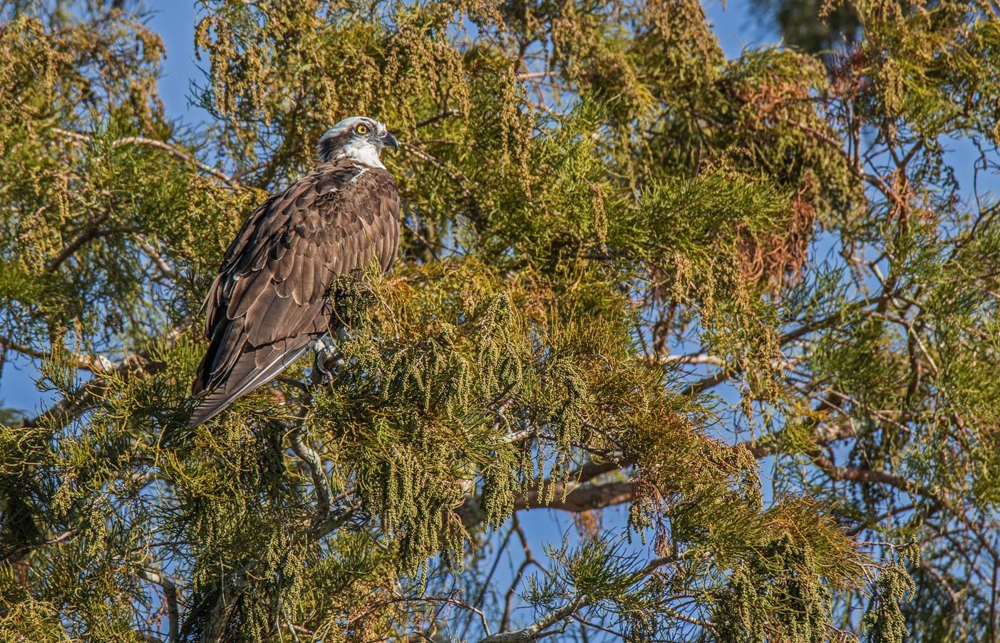 920-Osprey-pine-(2)-f.jpg
