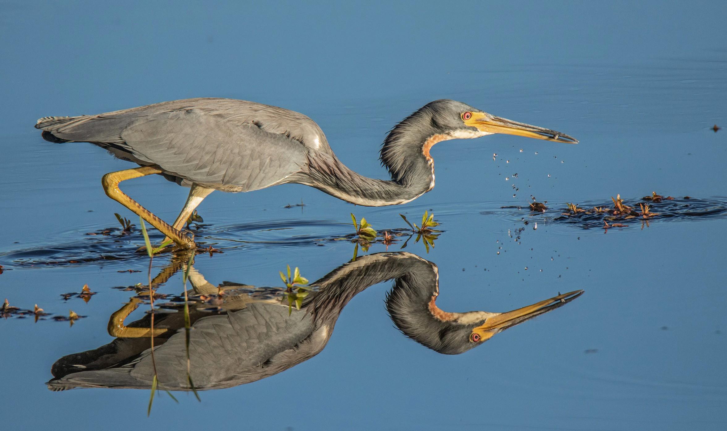 957-Tricolred-heron-hunting-(2)-f 3.jpg