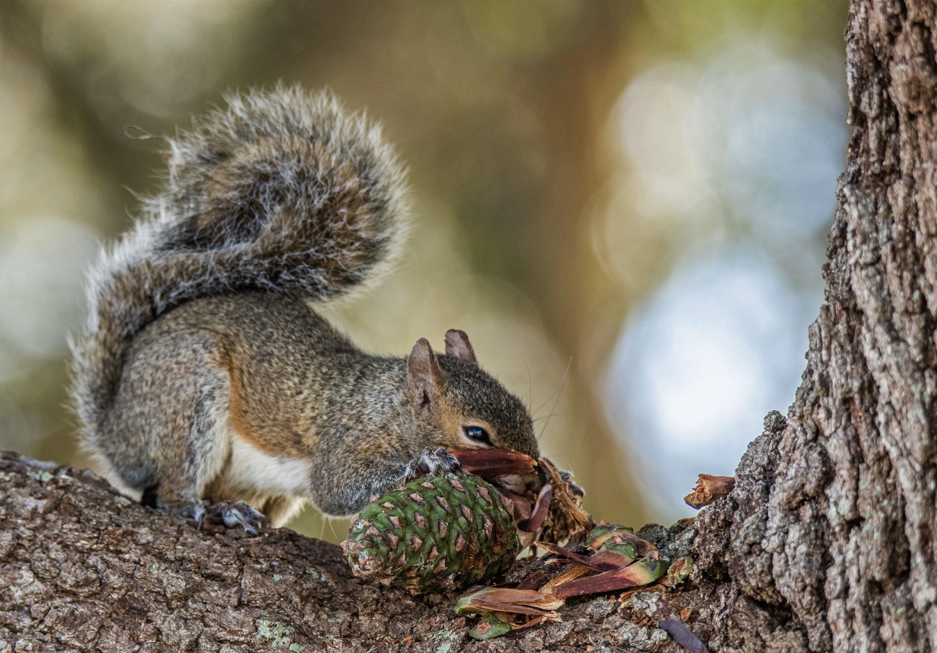 983-Squirrel-eating-pine-nuts-(2)-f.jpg