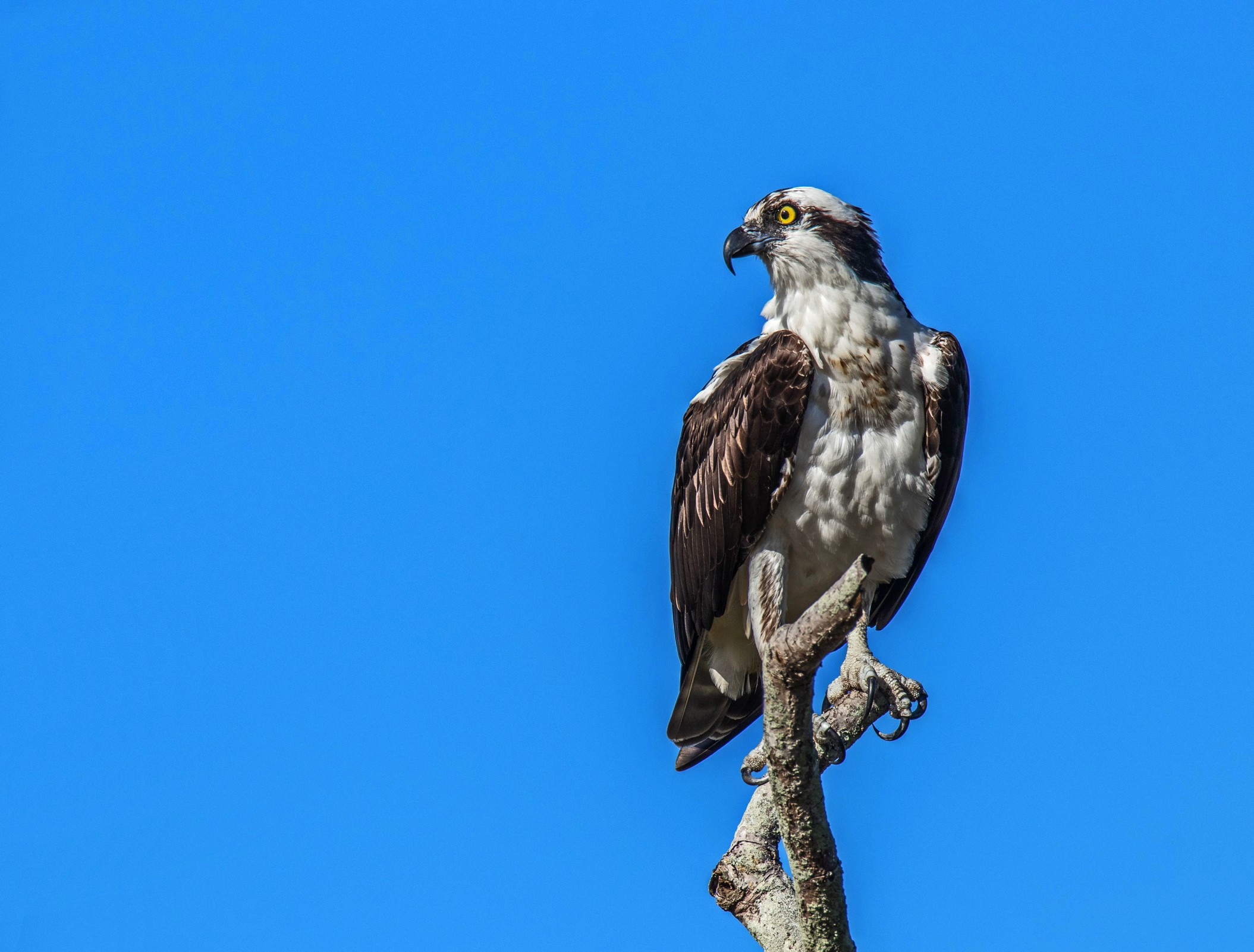 988-Osprey-(2)-f.jpg