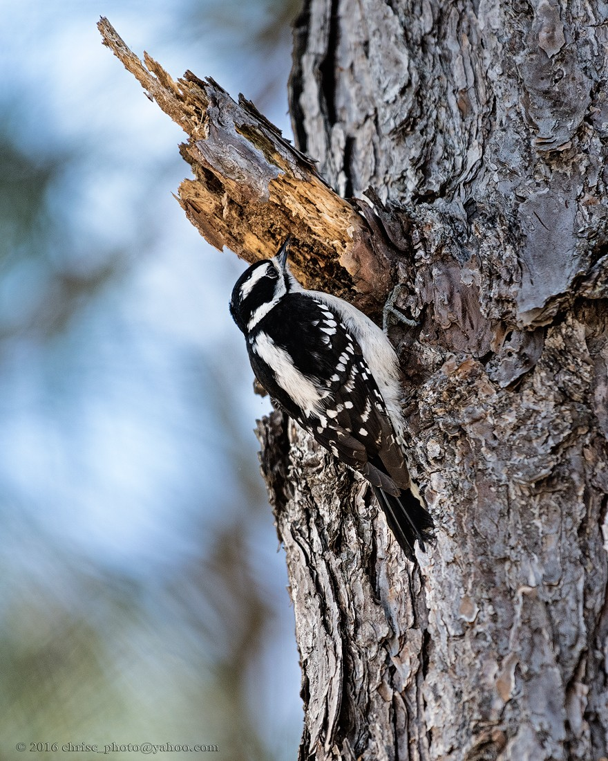 Adult-Female-Hairy-Woodpecker.jpg