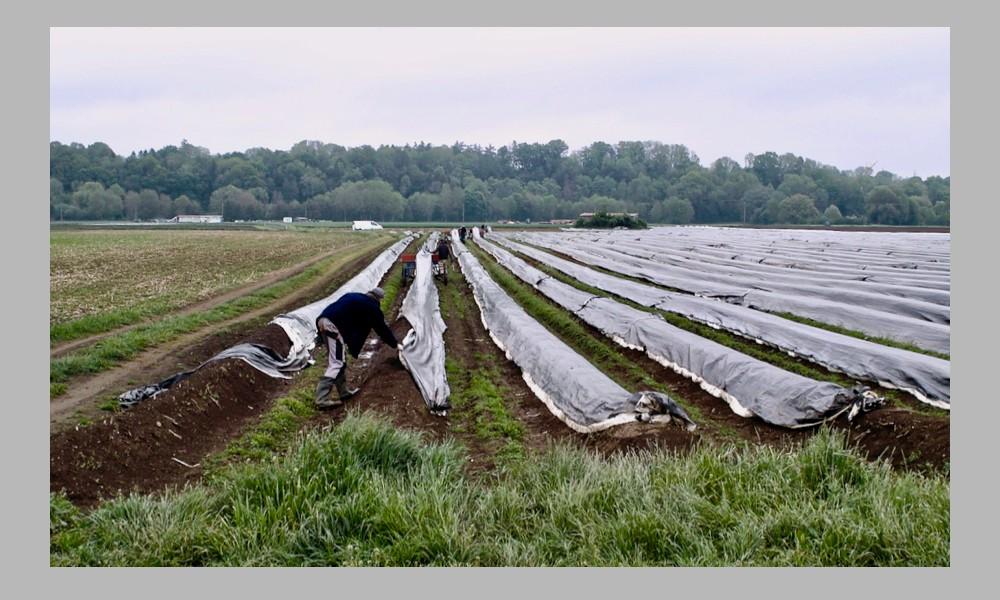 asparagus field covers grey bg - 1.jpg