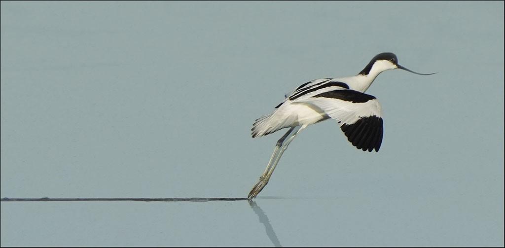 Avocet landing.jpg