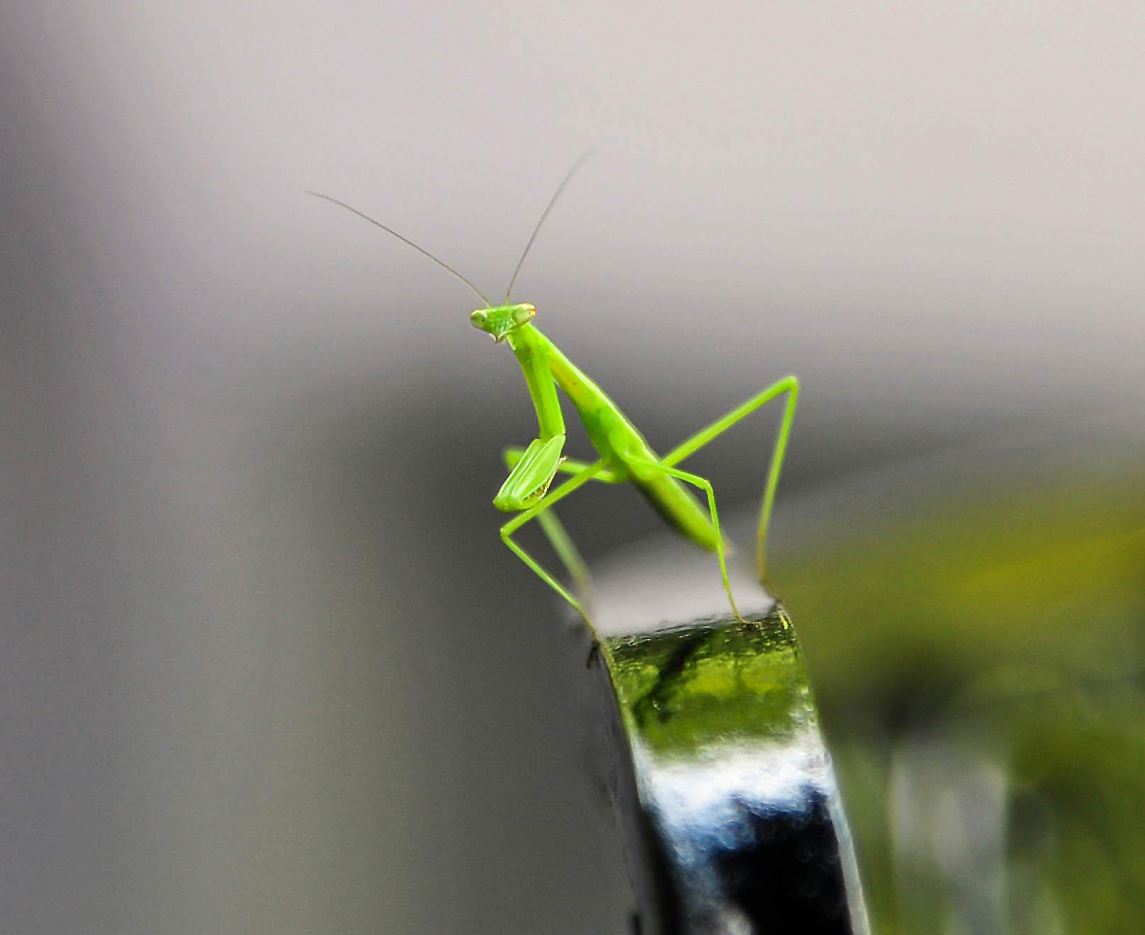 Baby mantis.jpg