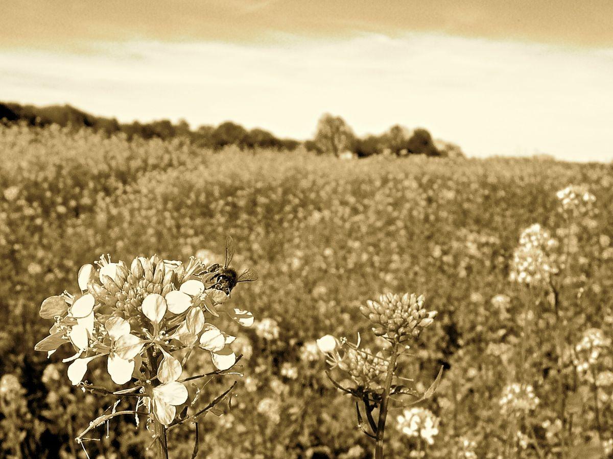 bee on rapeseed tpf.jpg